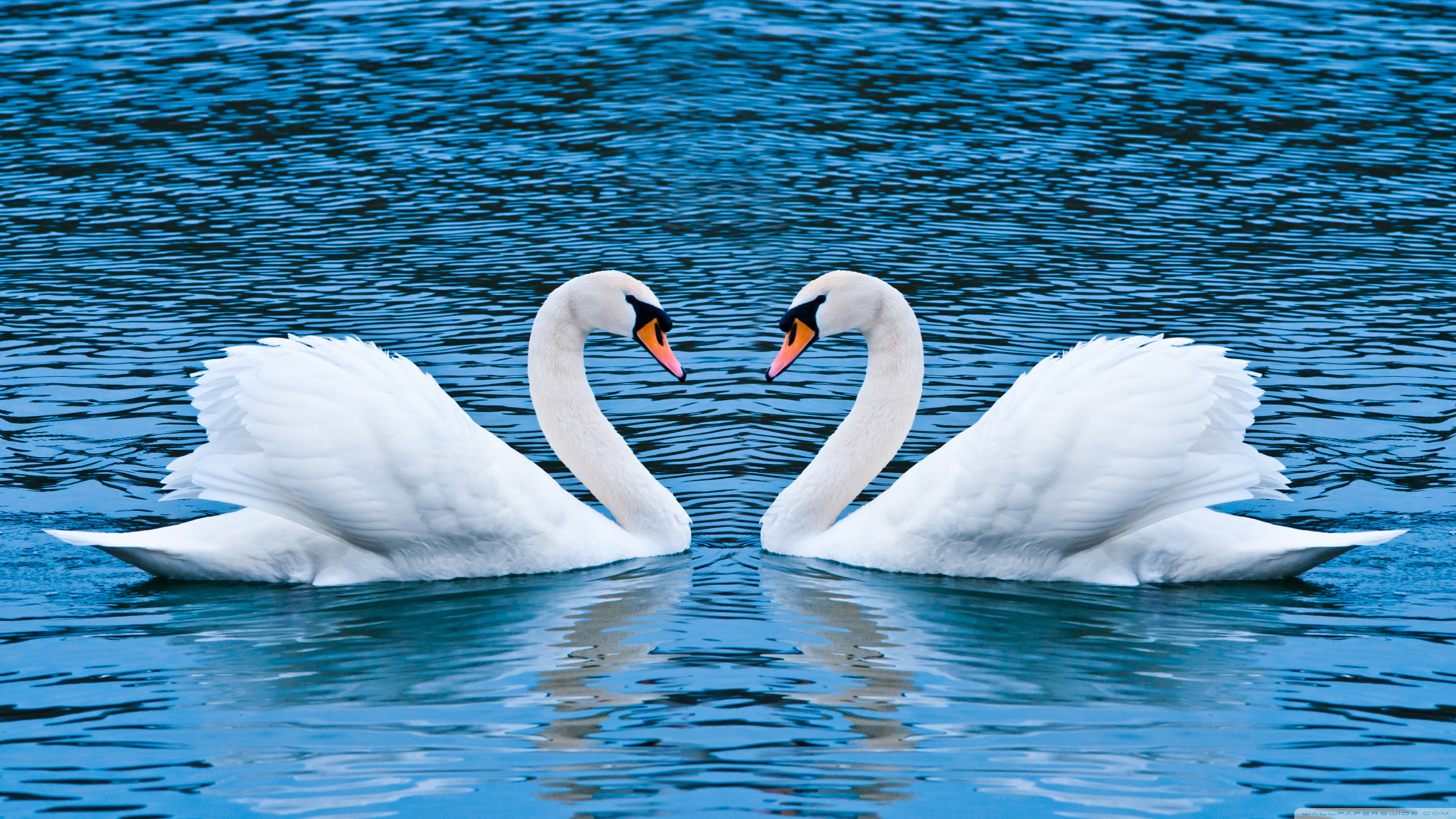 Two swans photo