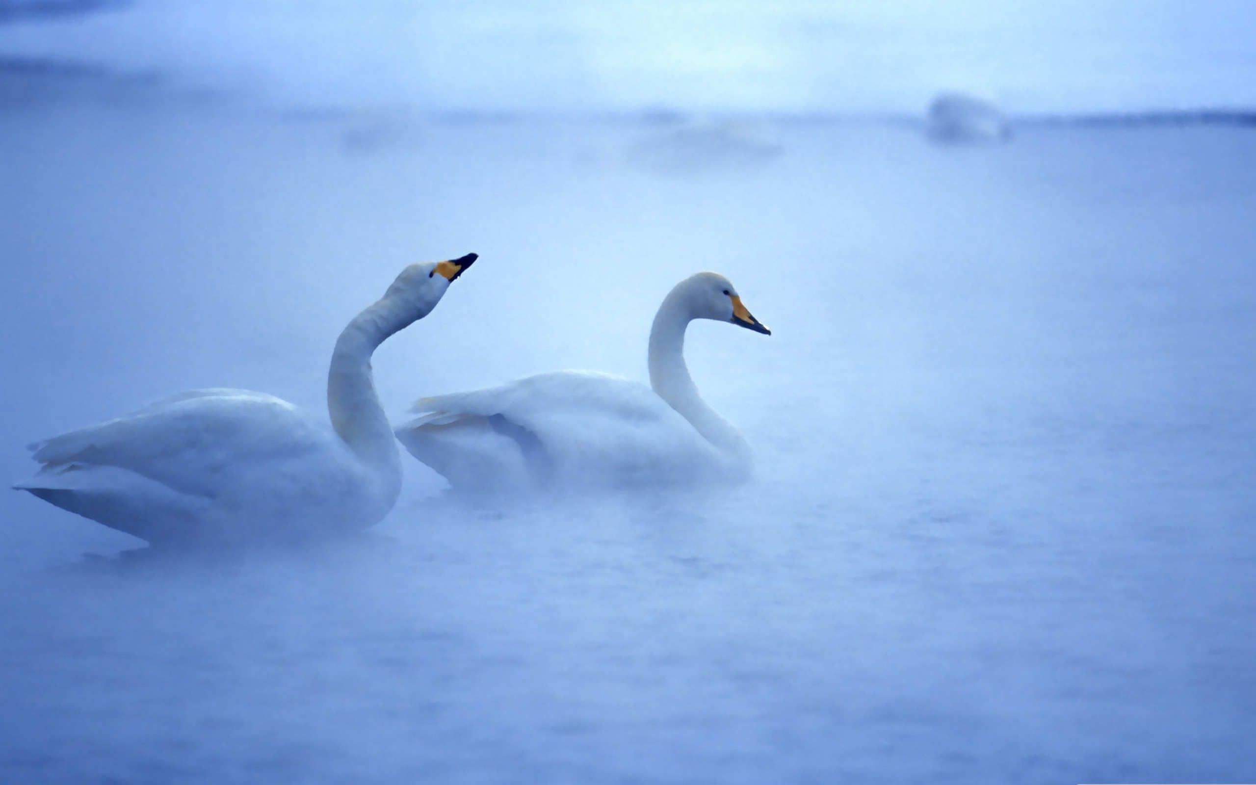 Two swans on the foggy lake / 2560 x 1600 / Animals / Photography ...
