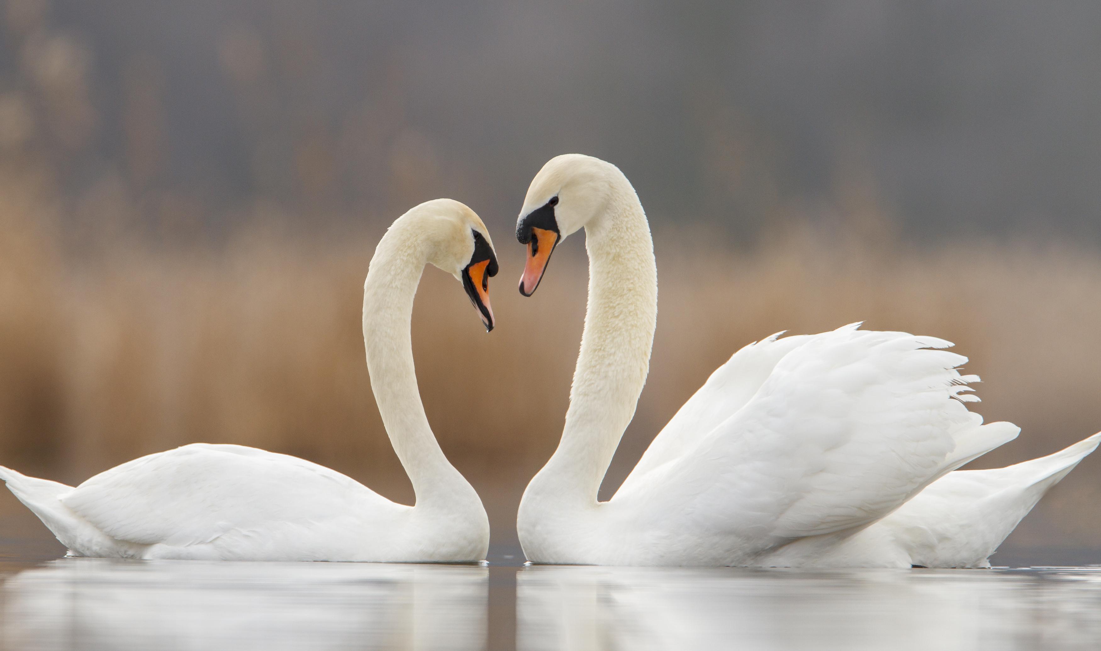 Swans and Love – Bikozulu