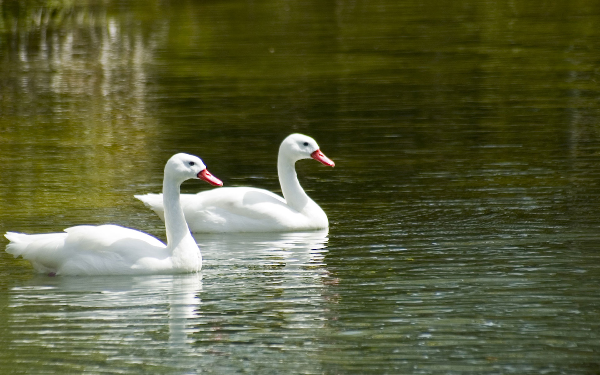 Two swans swimming photo