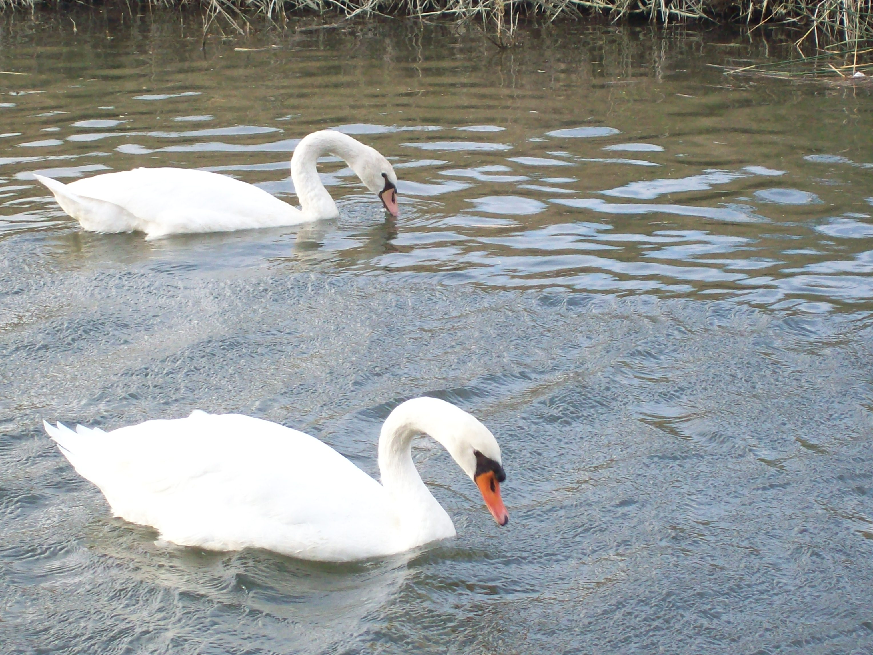 Two swans, Bird, Swan, White, HQ Photo