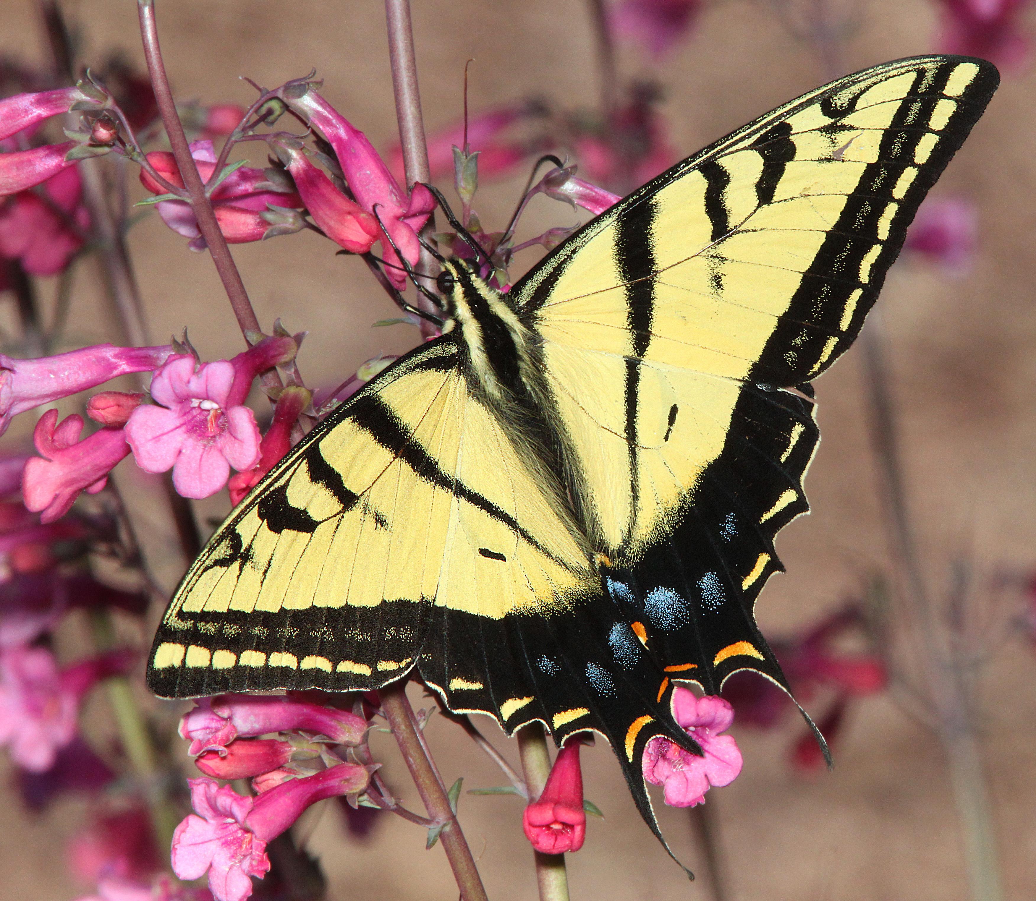 Two-tailed swallowtail (papilio multicaudata) (3-21-12) 78 circulo montana, patagonia lake ranch estates, scc, az -02 photo