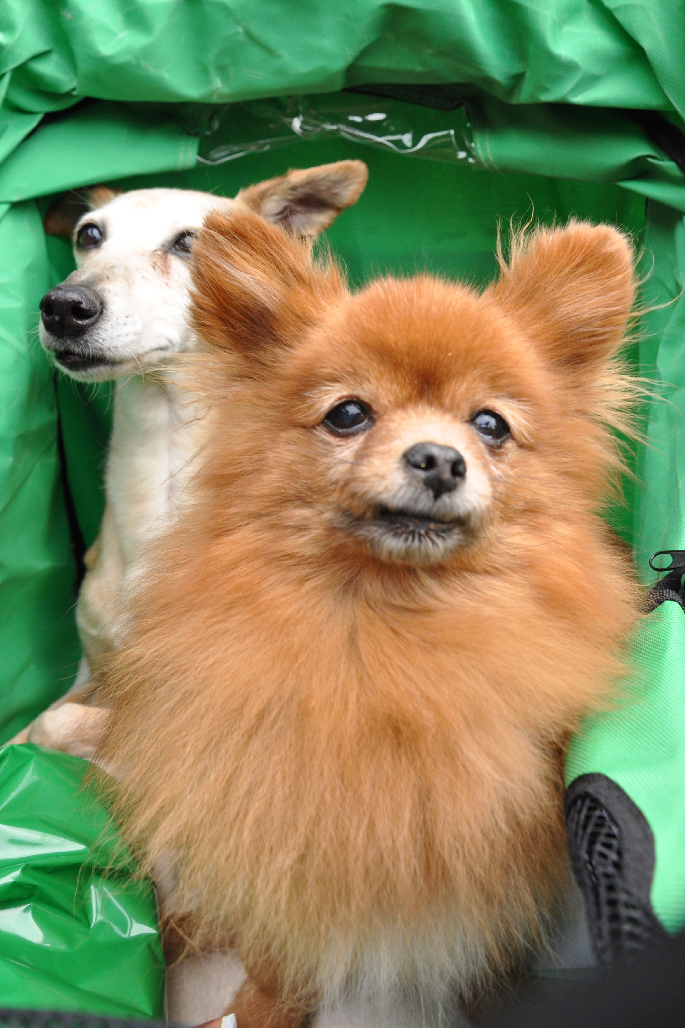 Two toy dogs in carriage photo