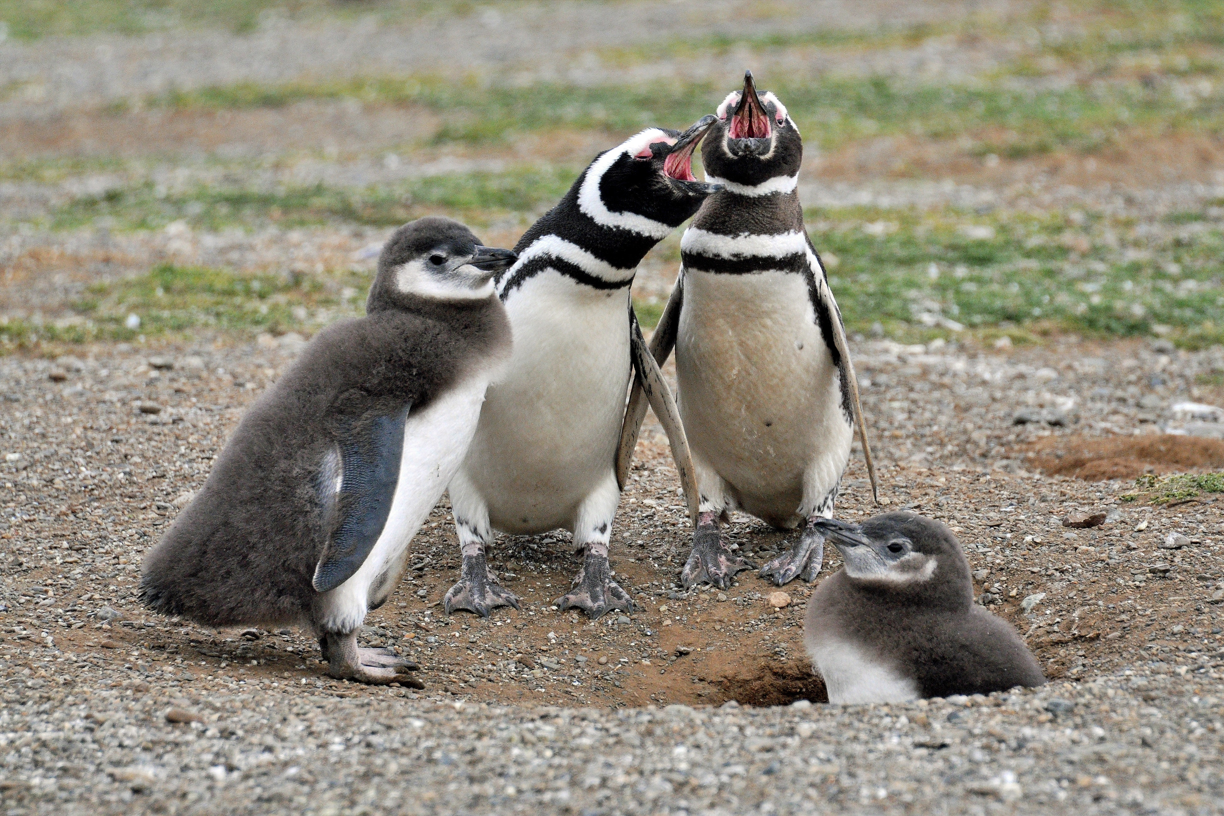 Two white-and-black adult penguins near two penguin chicks photo