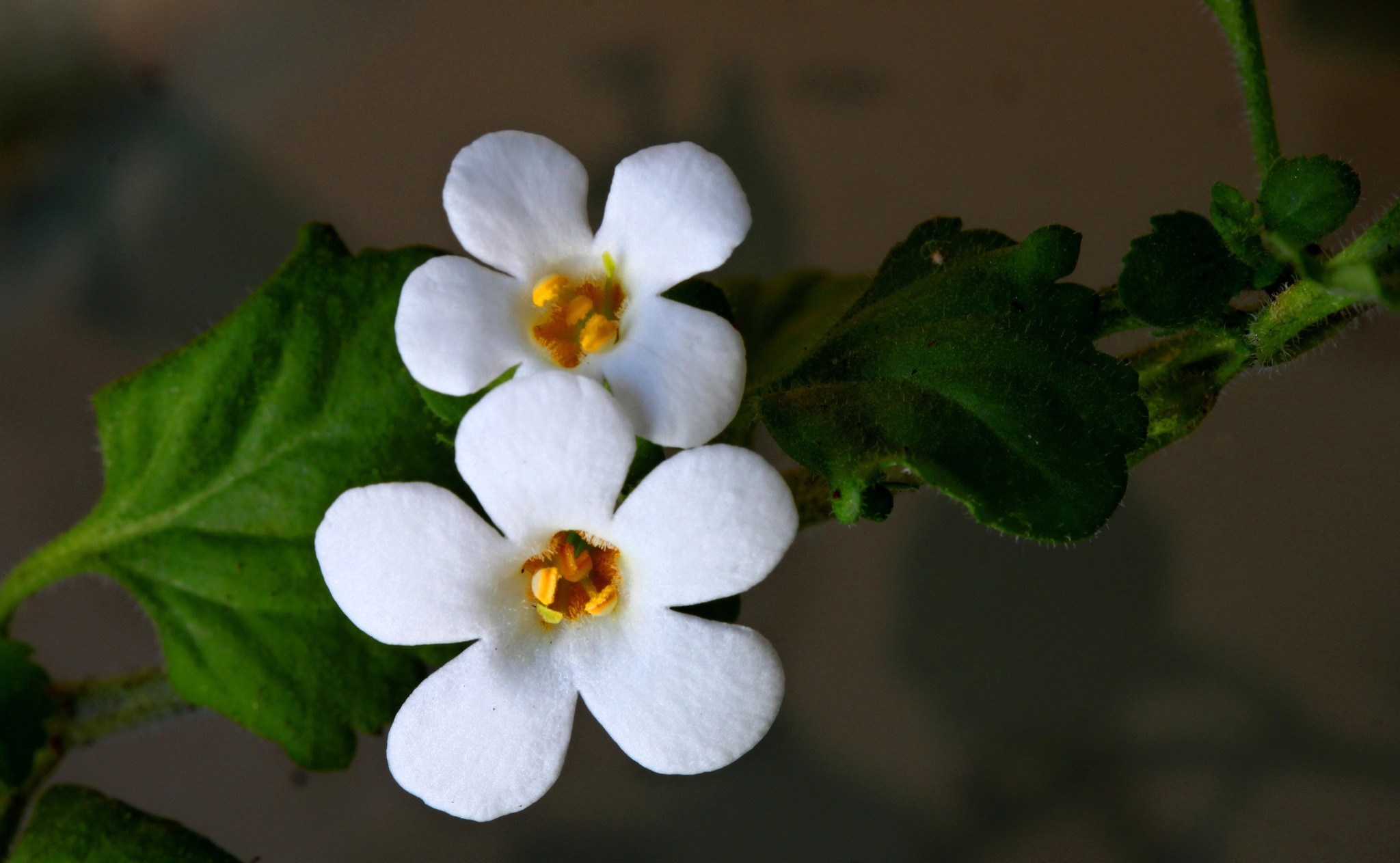Flowers: Flowers White Two Beautiful Picture Nice Flower for HD 16:9 ...