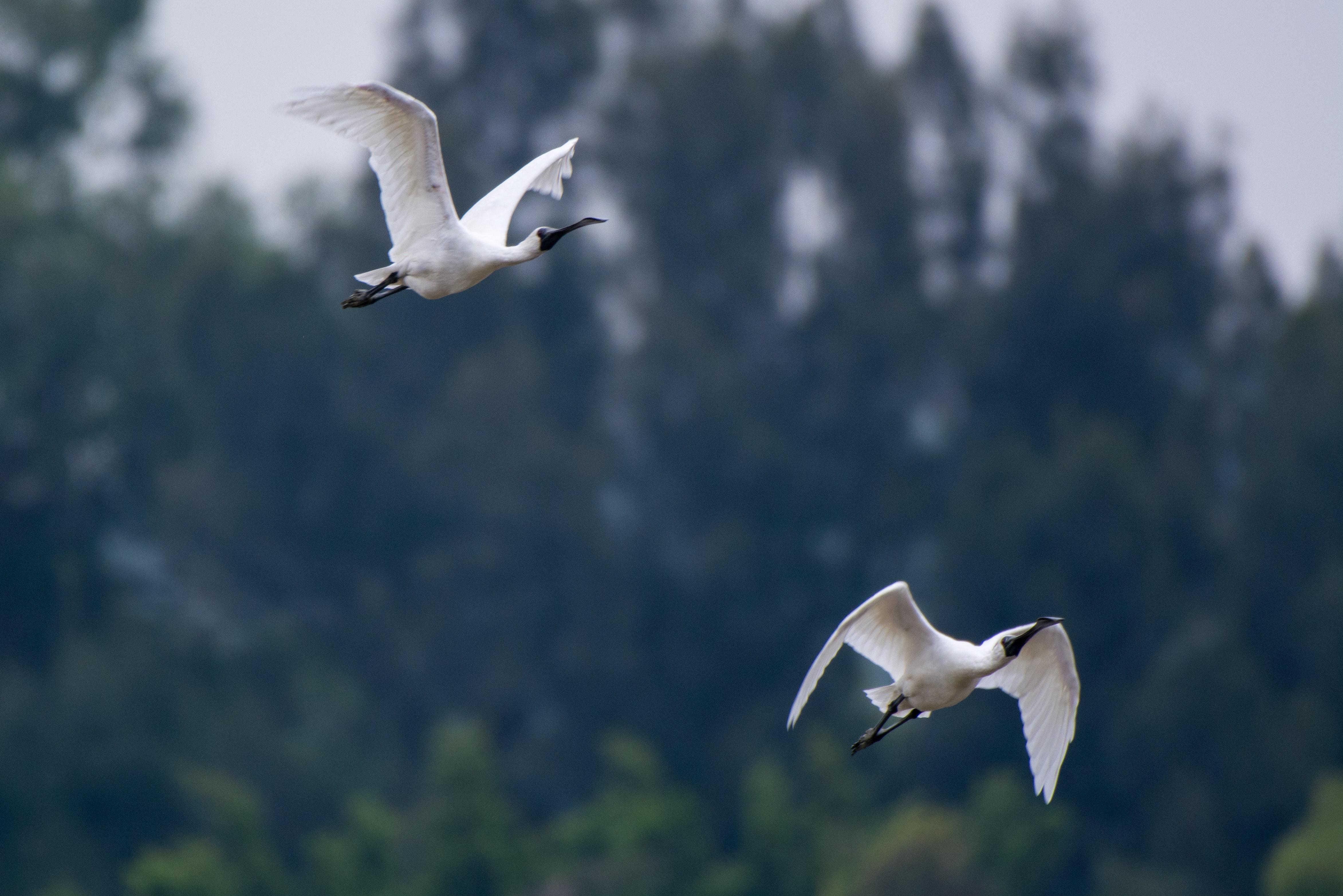 Two white ibis flying photo