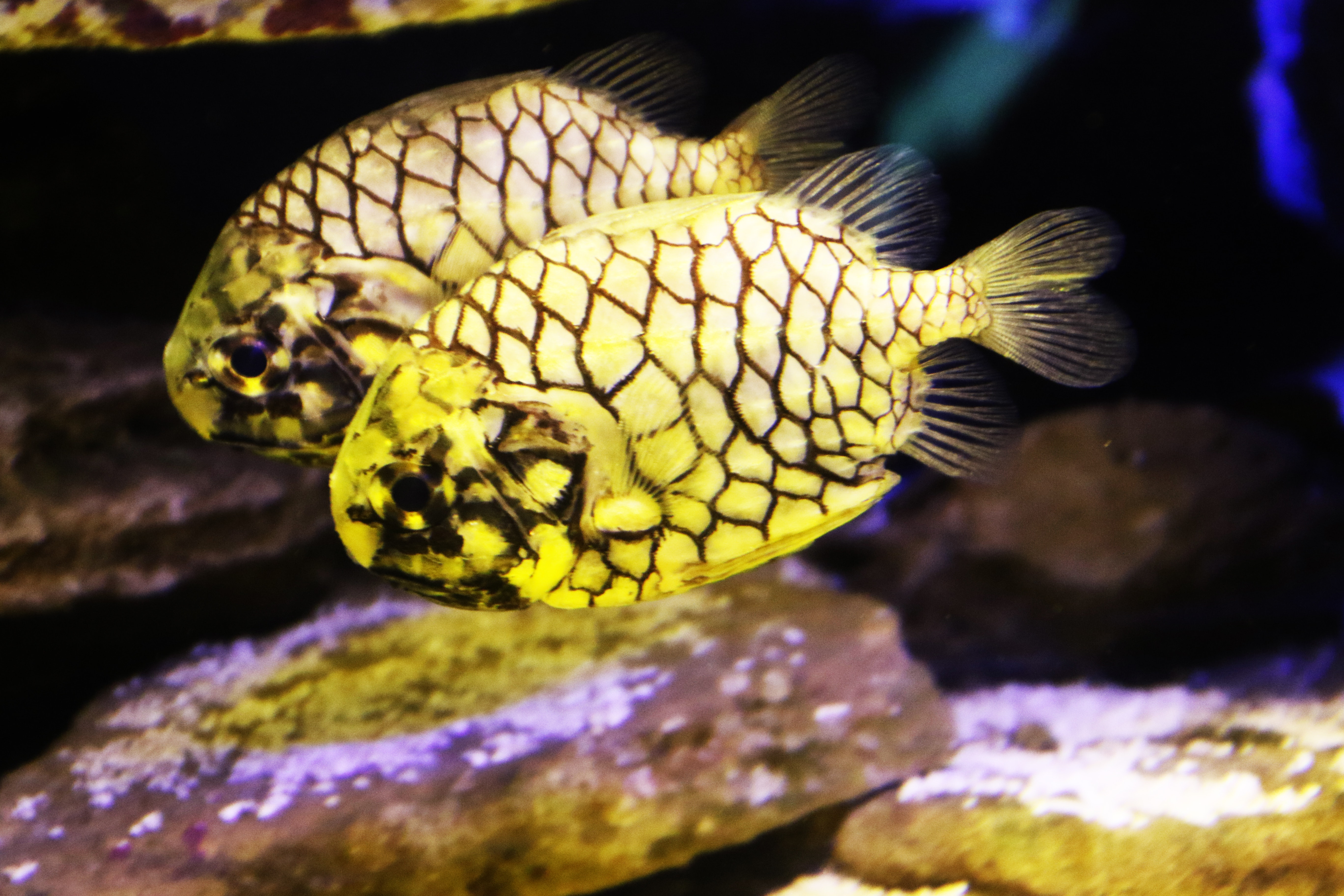 Two yellow exotic fishes in the sea photo