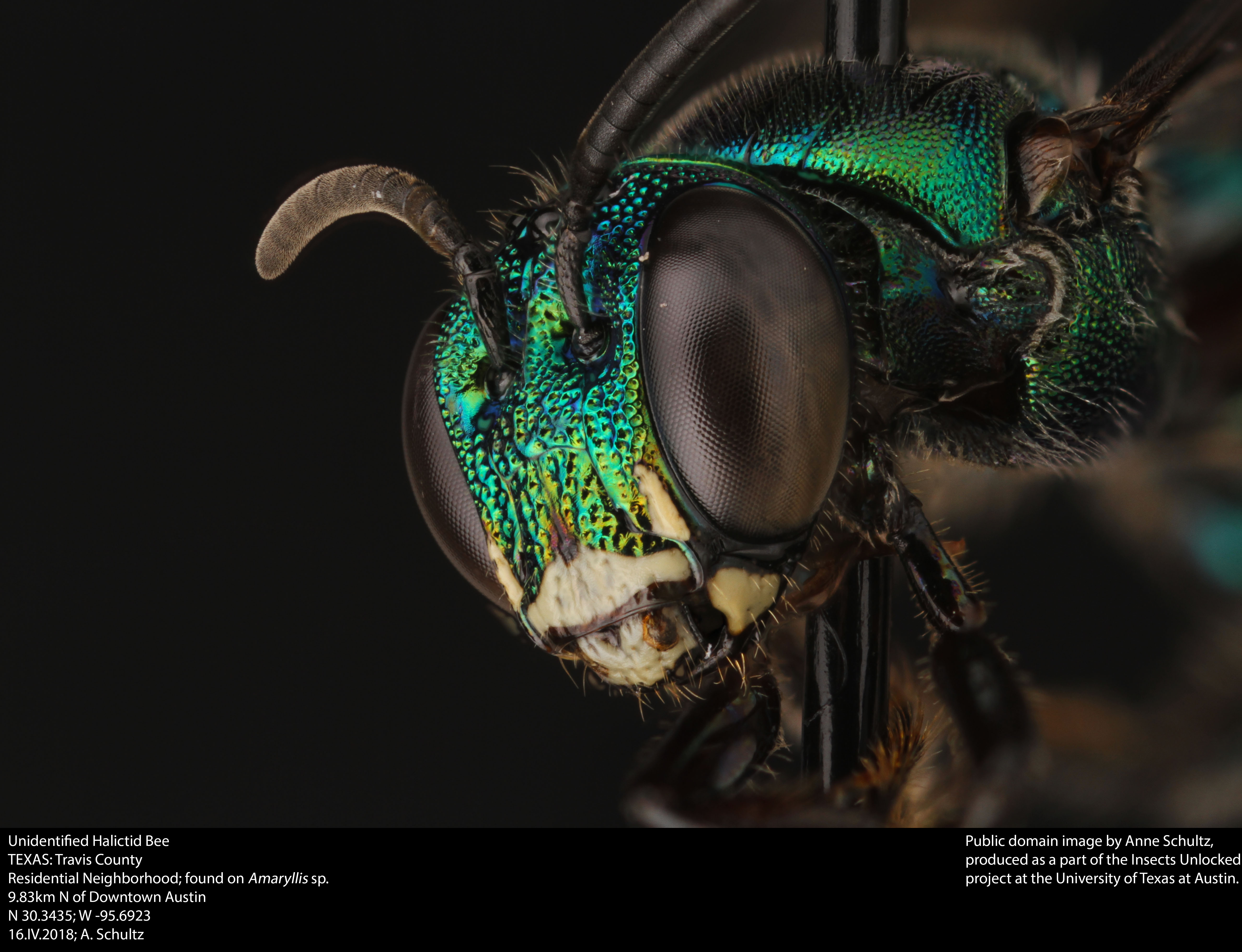 Unidentified halictid bee photo