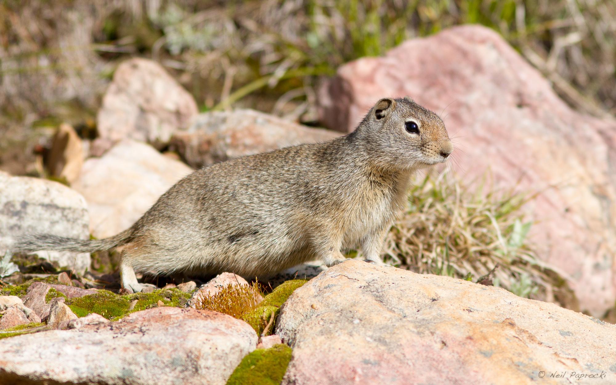Unita ground squirrel photo