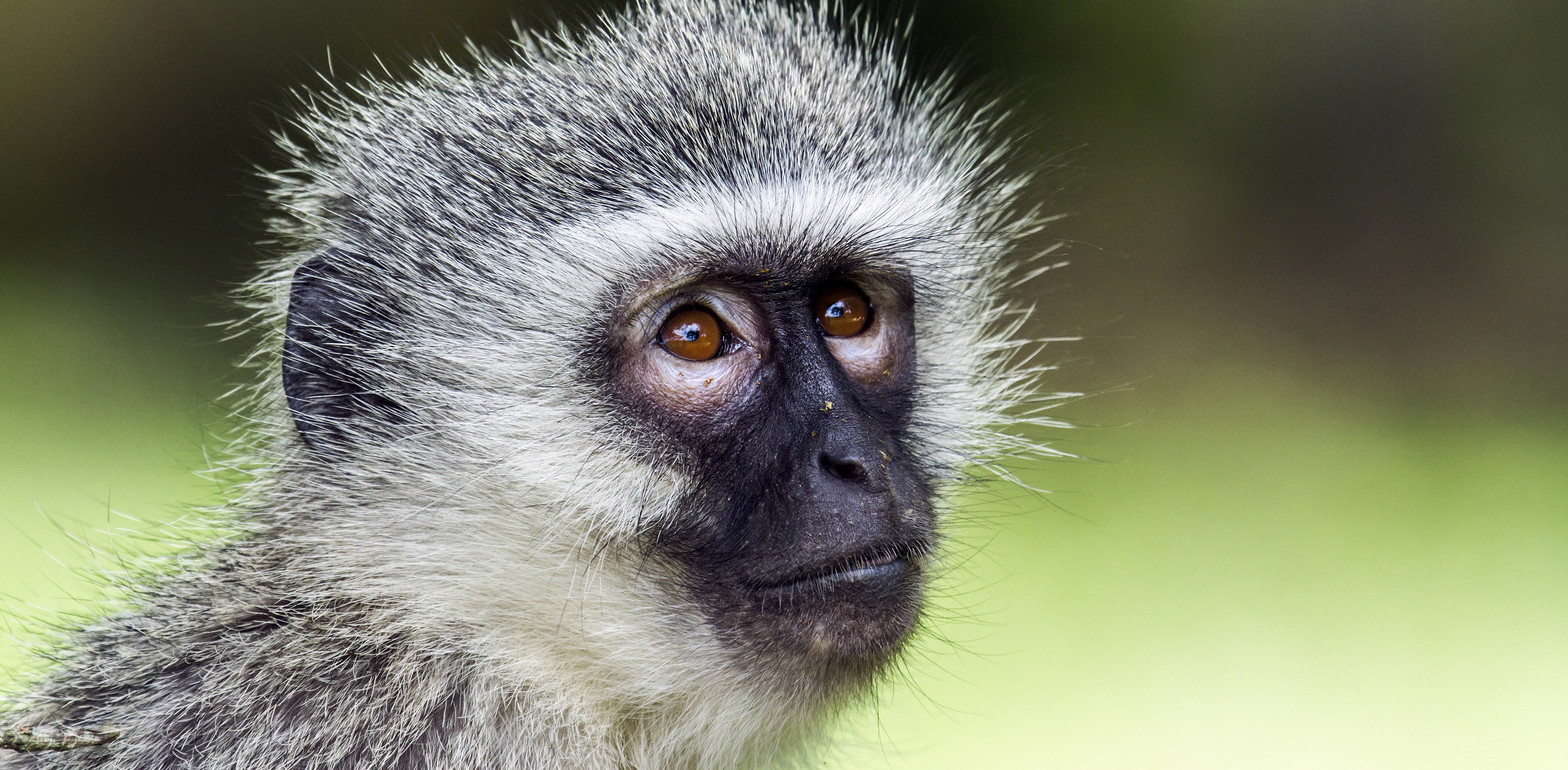 Vervet monkey photo