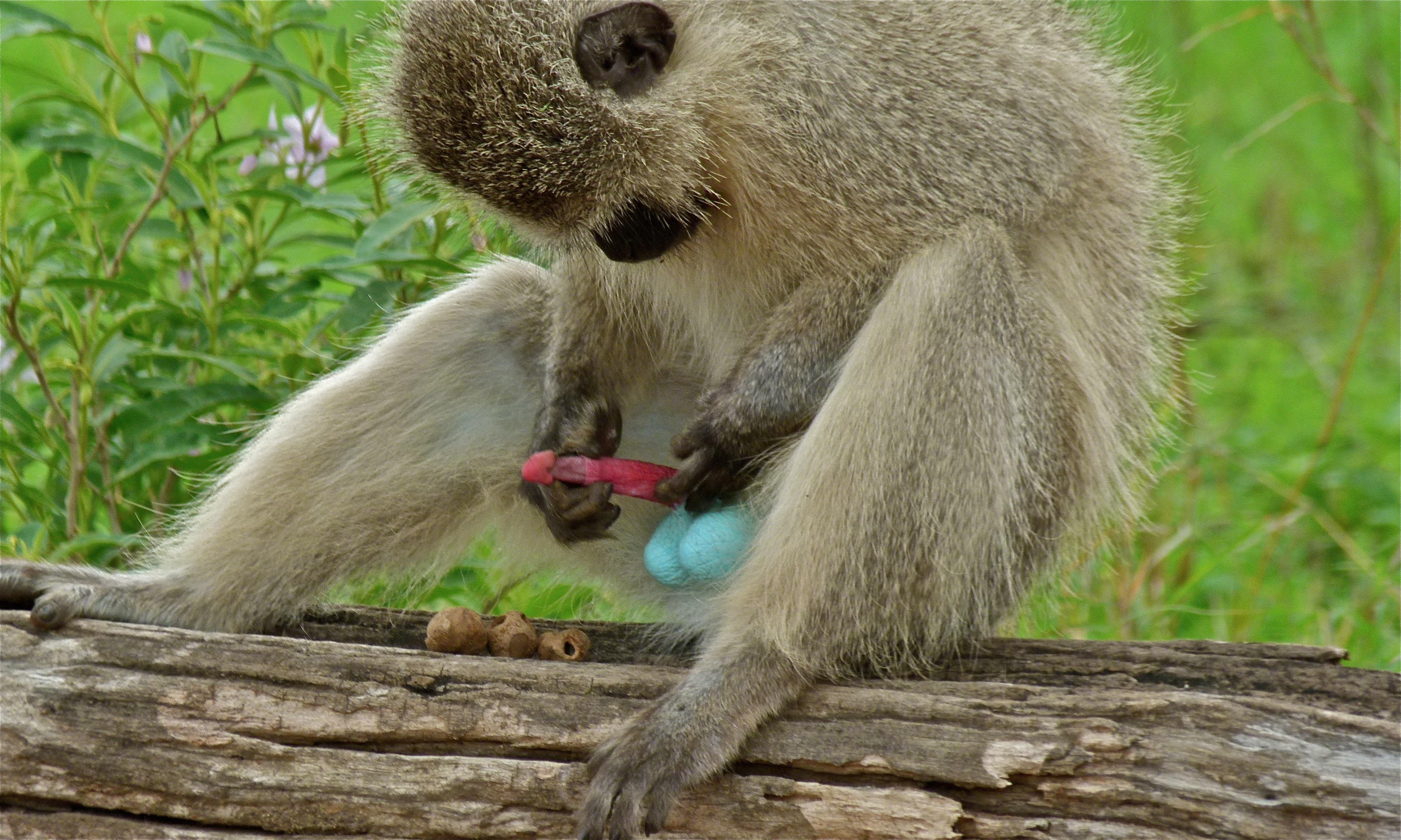 Vervet monkeys photo