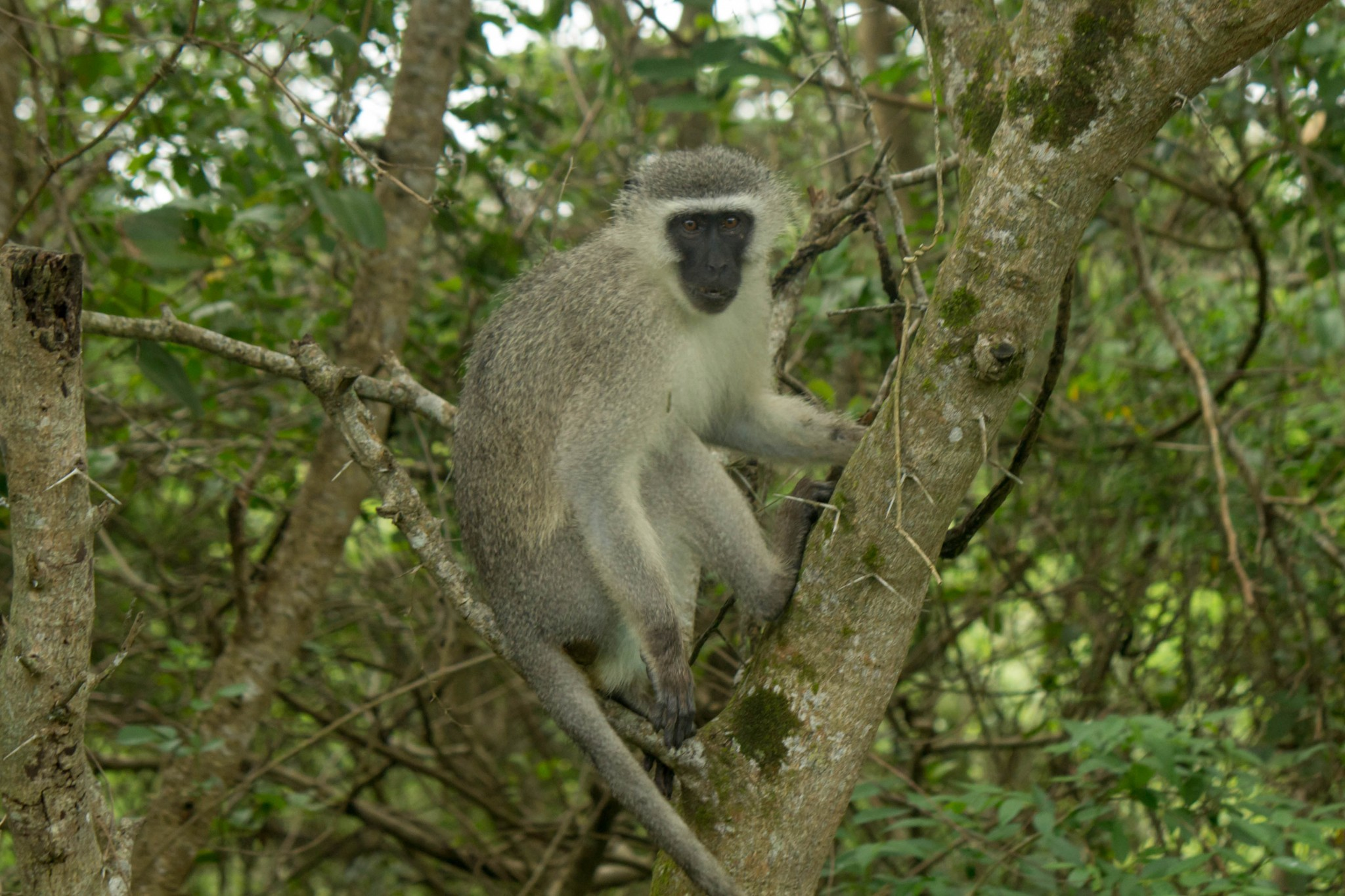Vervet Monkey - Wildlife Vagabond