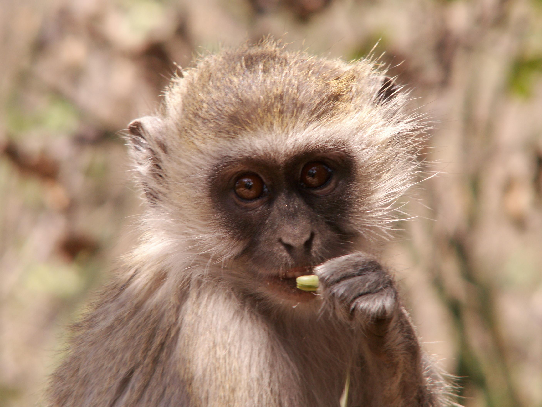 Vervet Monkey - A Portrait, Animal, Bspo06, Hairy, Monkey, HQ Photo