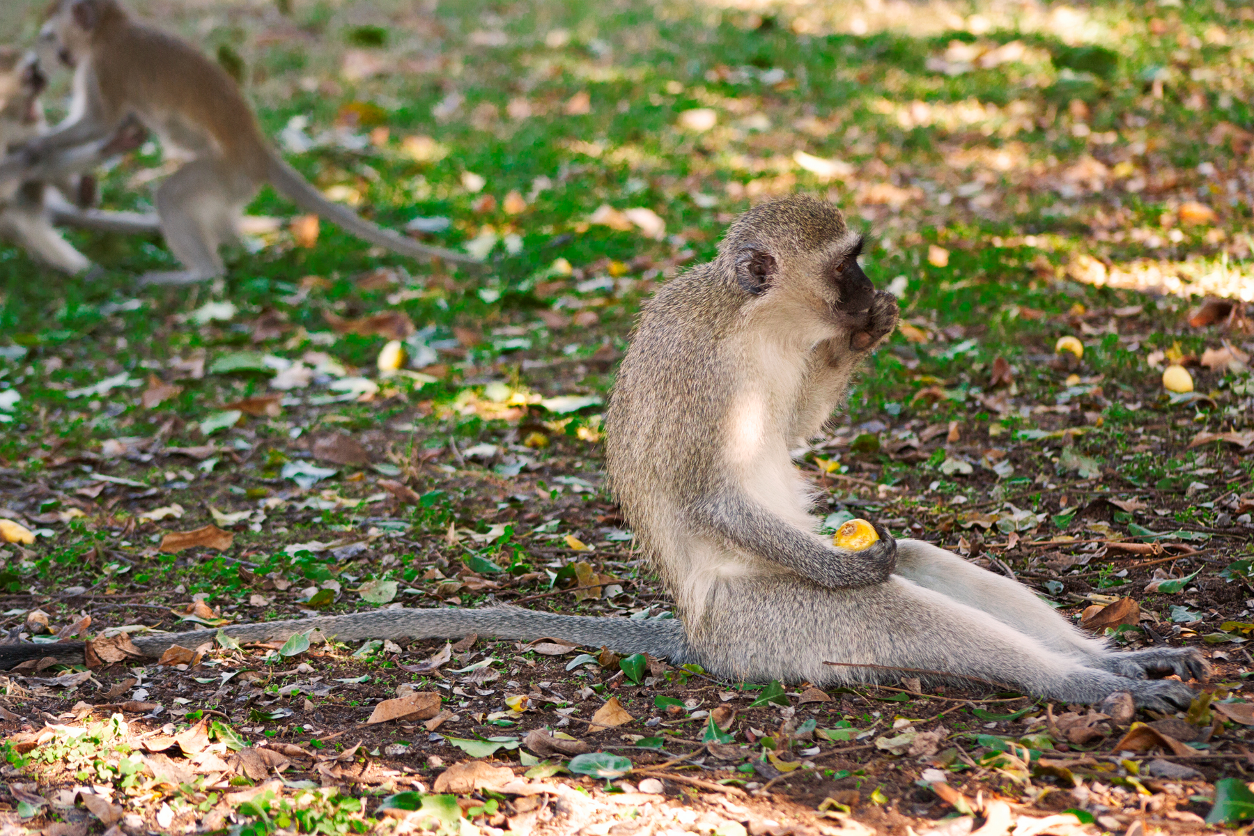 Vervet Monkey, Africa, Safari, Nature, Outside, HQ Photo