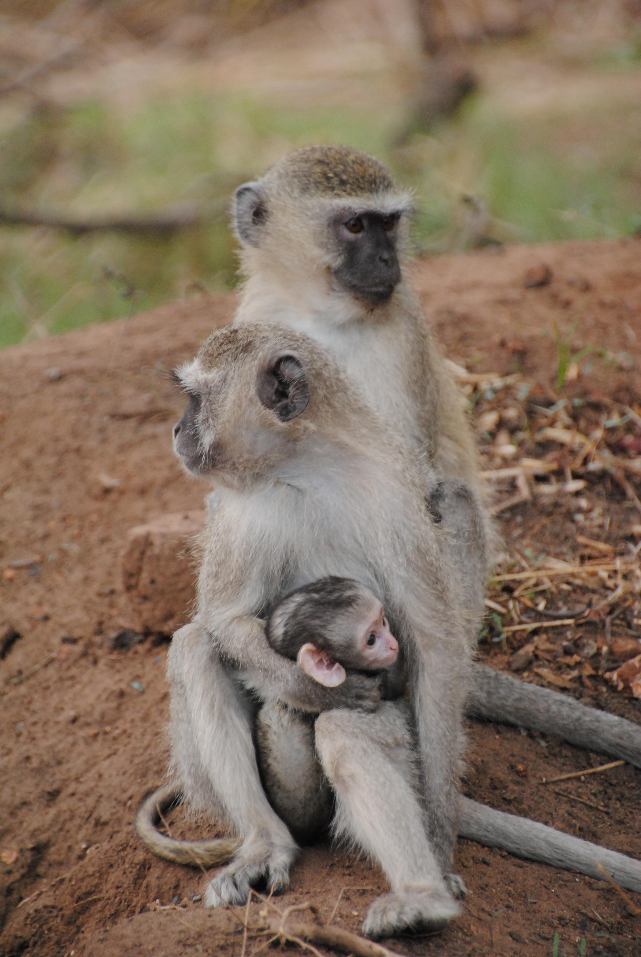 File:Family of vervet monkeys near the border - Zimbabwe - panoramio ...