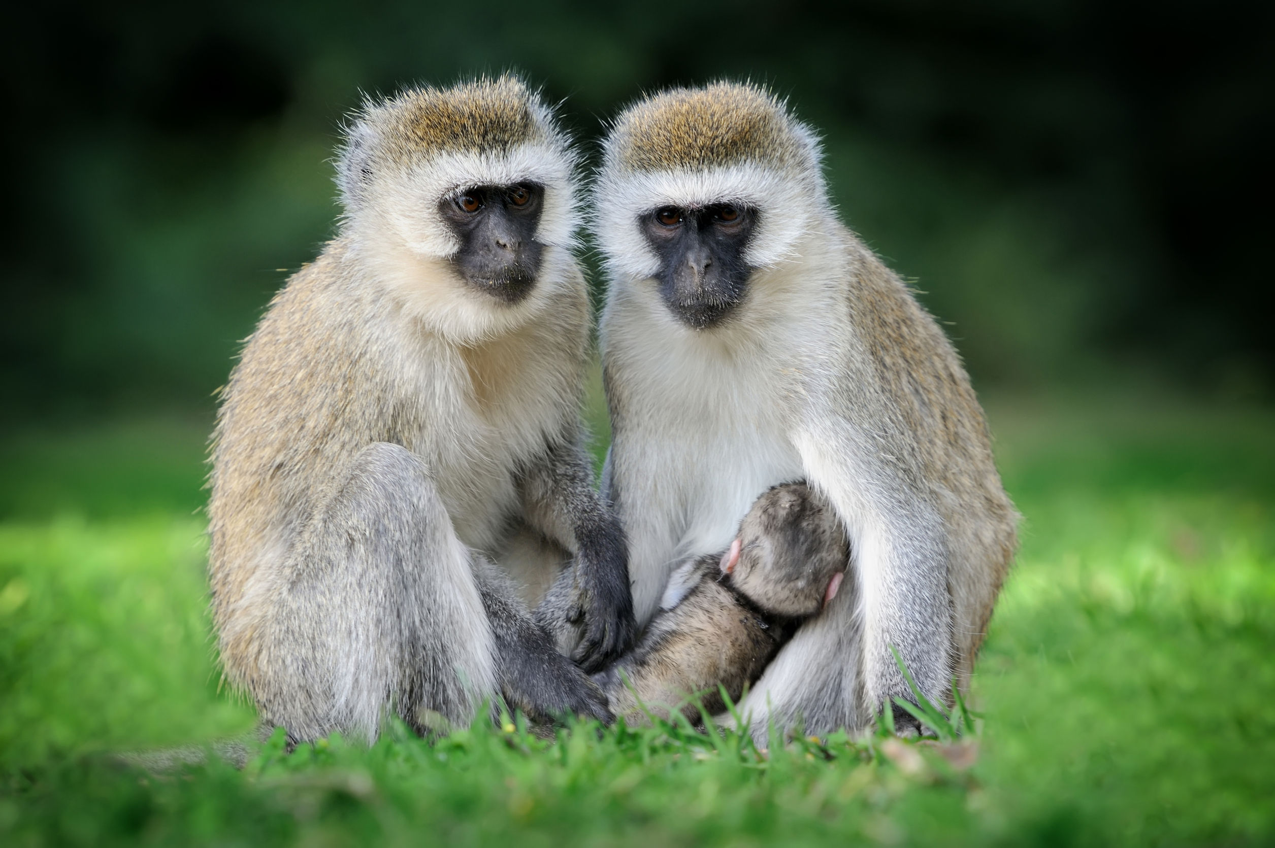 Five pain-free ways to manage the monkey menace | North Coast Courier