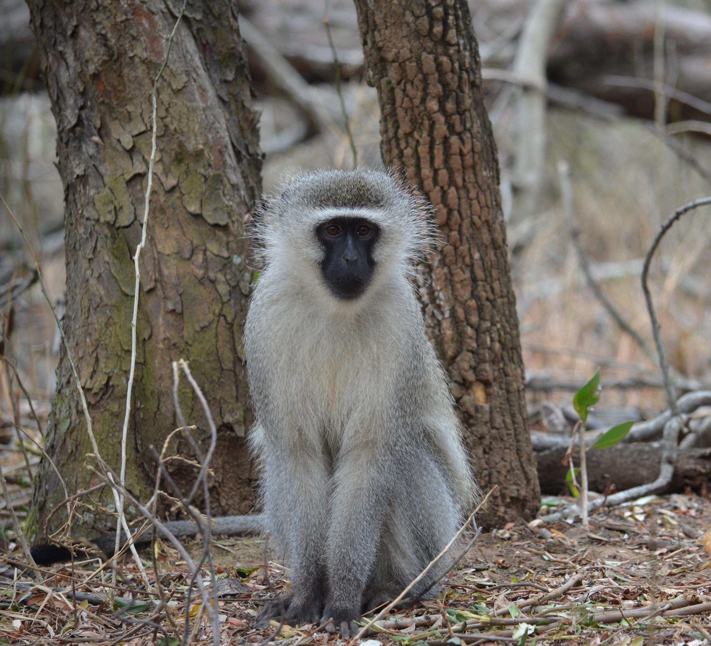 Male vervet monkeys use punishment and coercion to de-escalate ...
