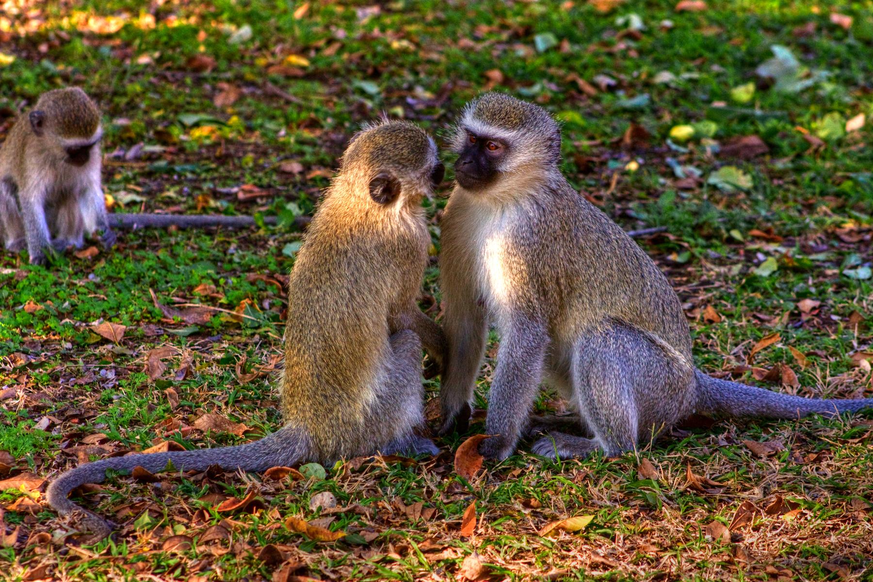 Vervet Monkeys, Africa, Resource, Natural, Nature, HQ Photo