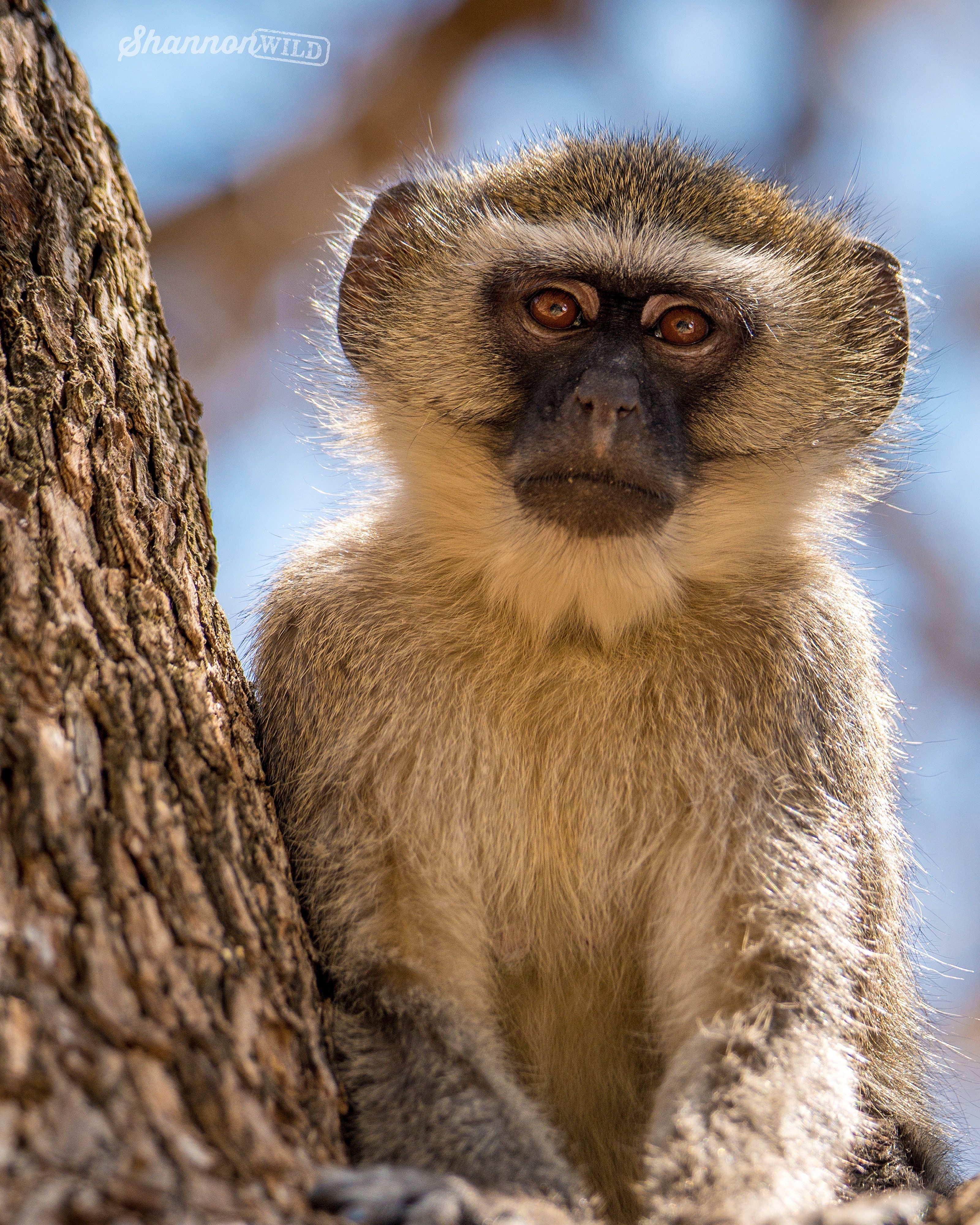 One of the many cheeky Vervet Monkeys that was hanging around our ...