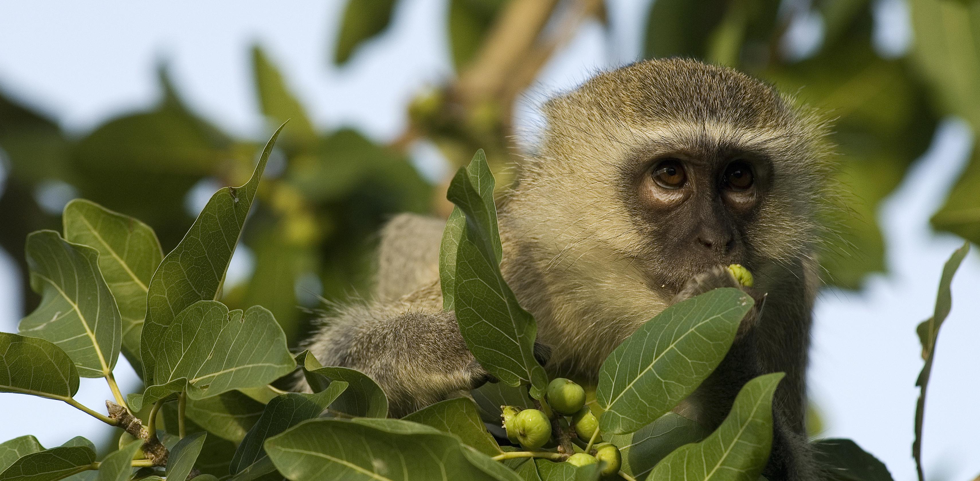Vervet Monkey (Green Monkey)