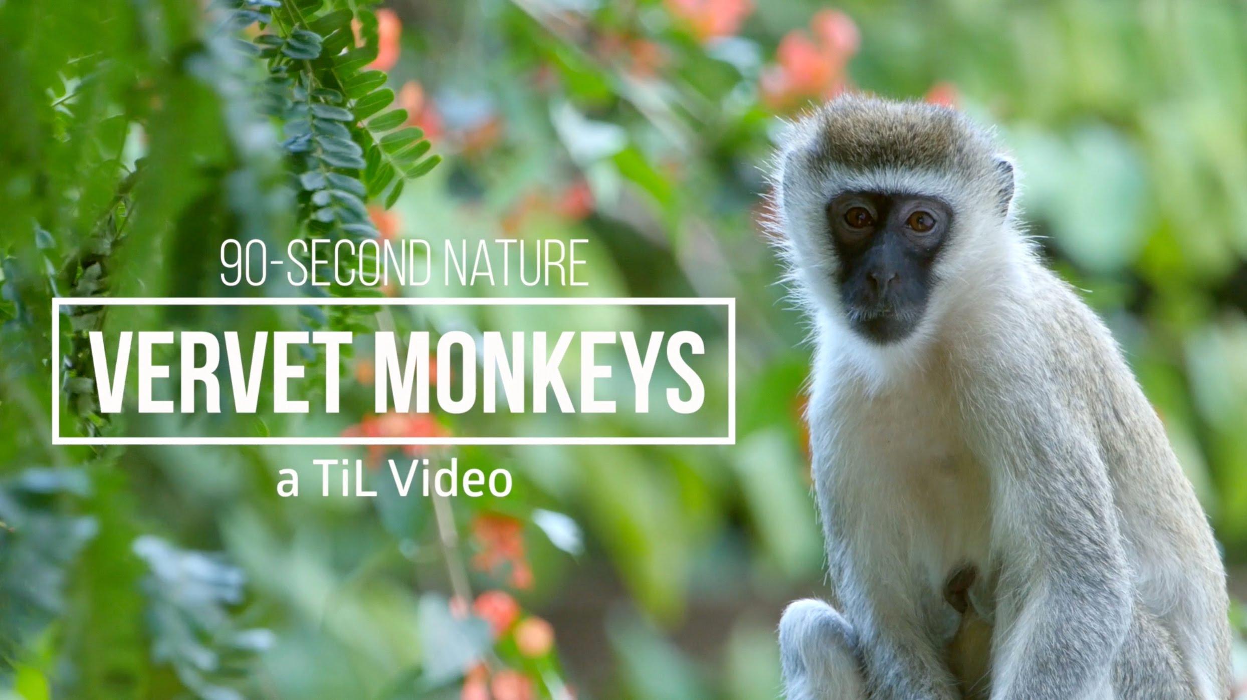 Meet the Vervet Monkey: a 90-Second Nature Film - YouTube