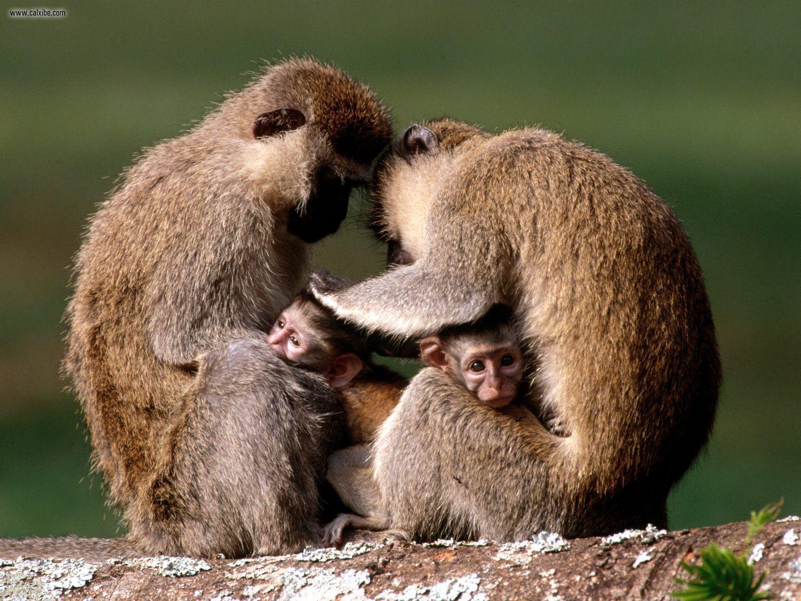 Animals: Vervet Monkeys Uganda Africa, picture nr. 23923