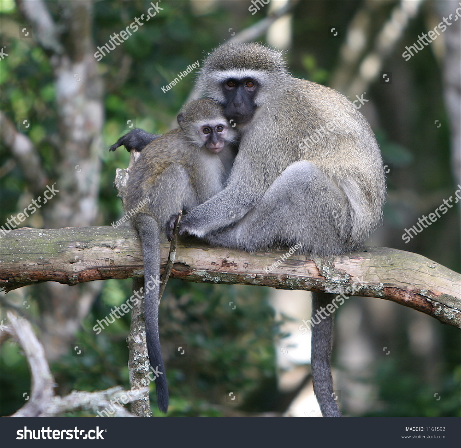 Vervet Monkey Mother Holding Her Baby Stock Photo (Royalty Free ...
