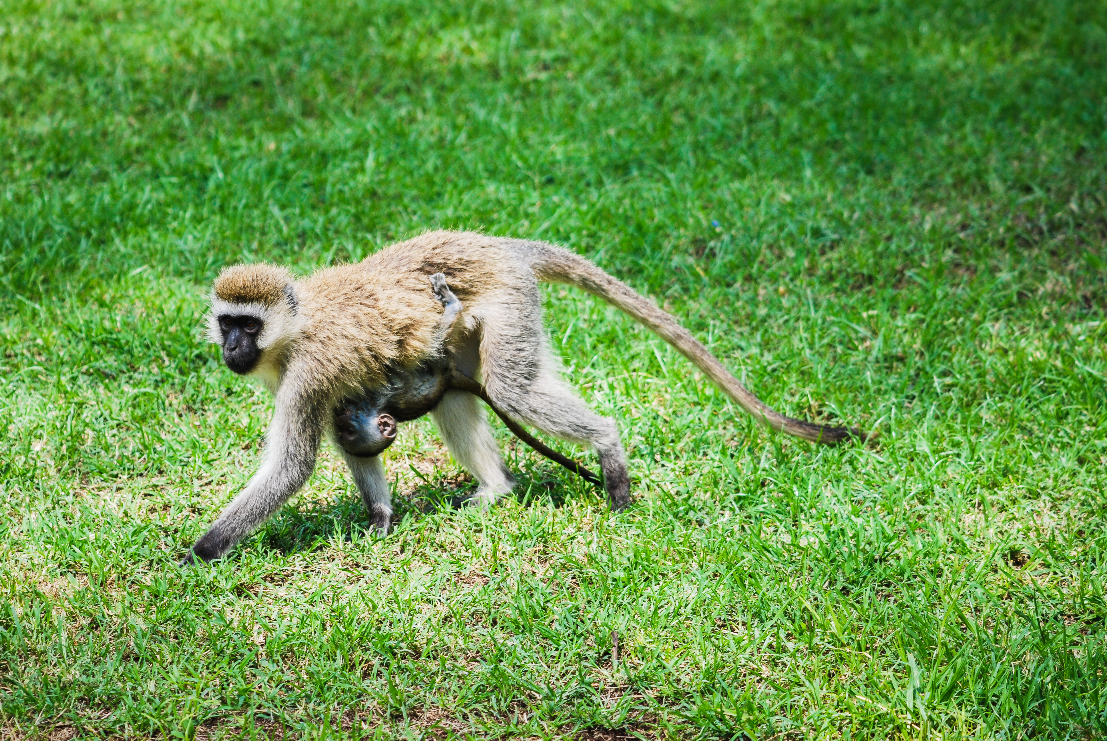 Vervet Monkey carrying Baby - Pattern Pictures free textures and ...