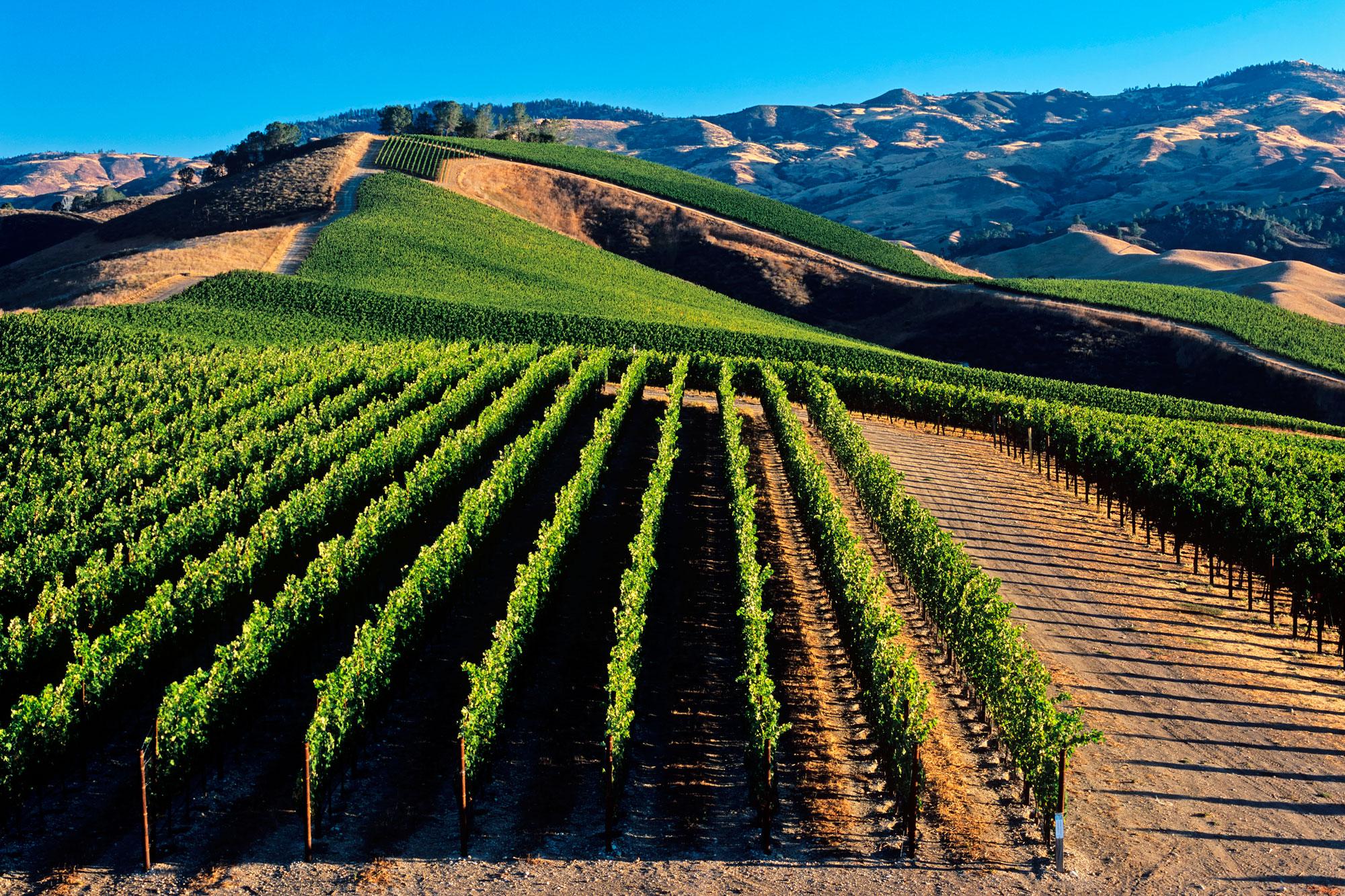 How To Plant A Vineyard - Tn Nursery