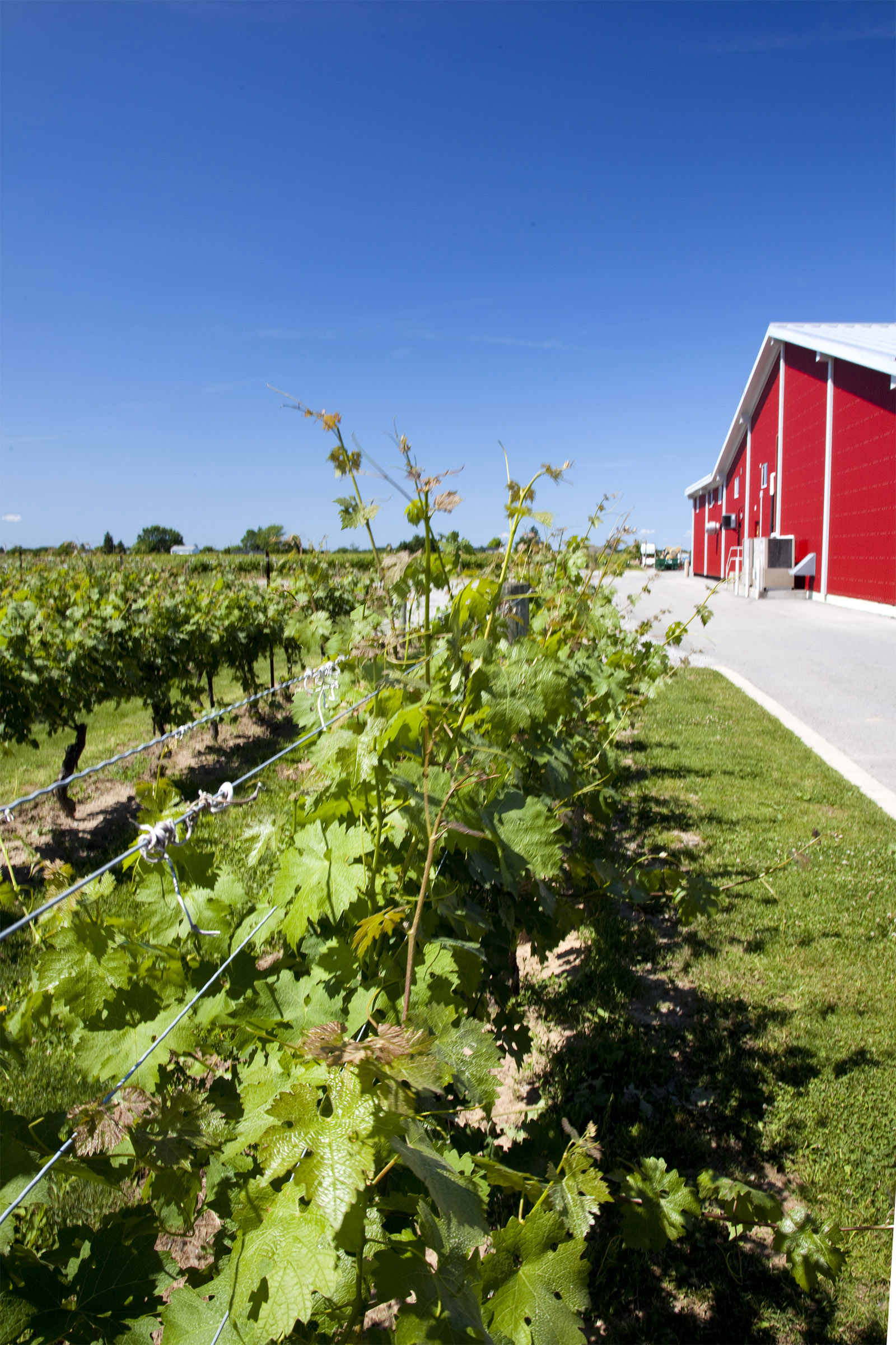 Vineyard, Spring, Sun, South, Scenic, HQ Photo