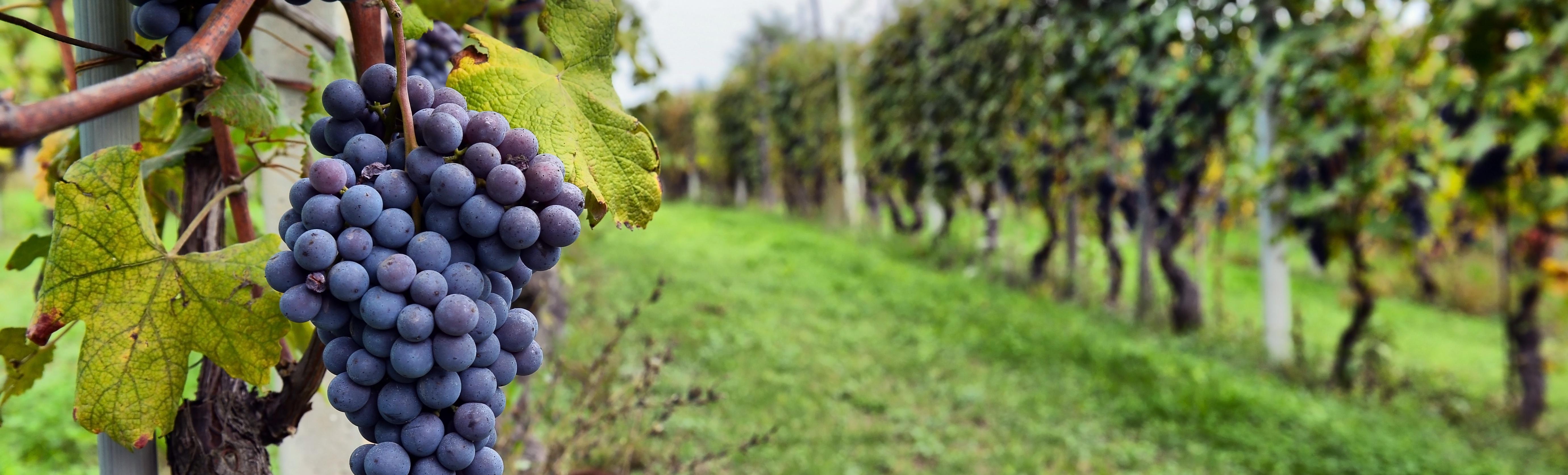Winemaking Excellence - Vineyards | Terlato Vineyards