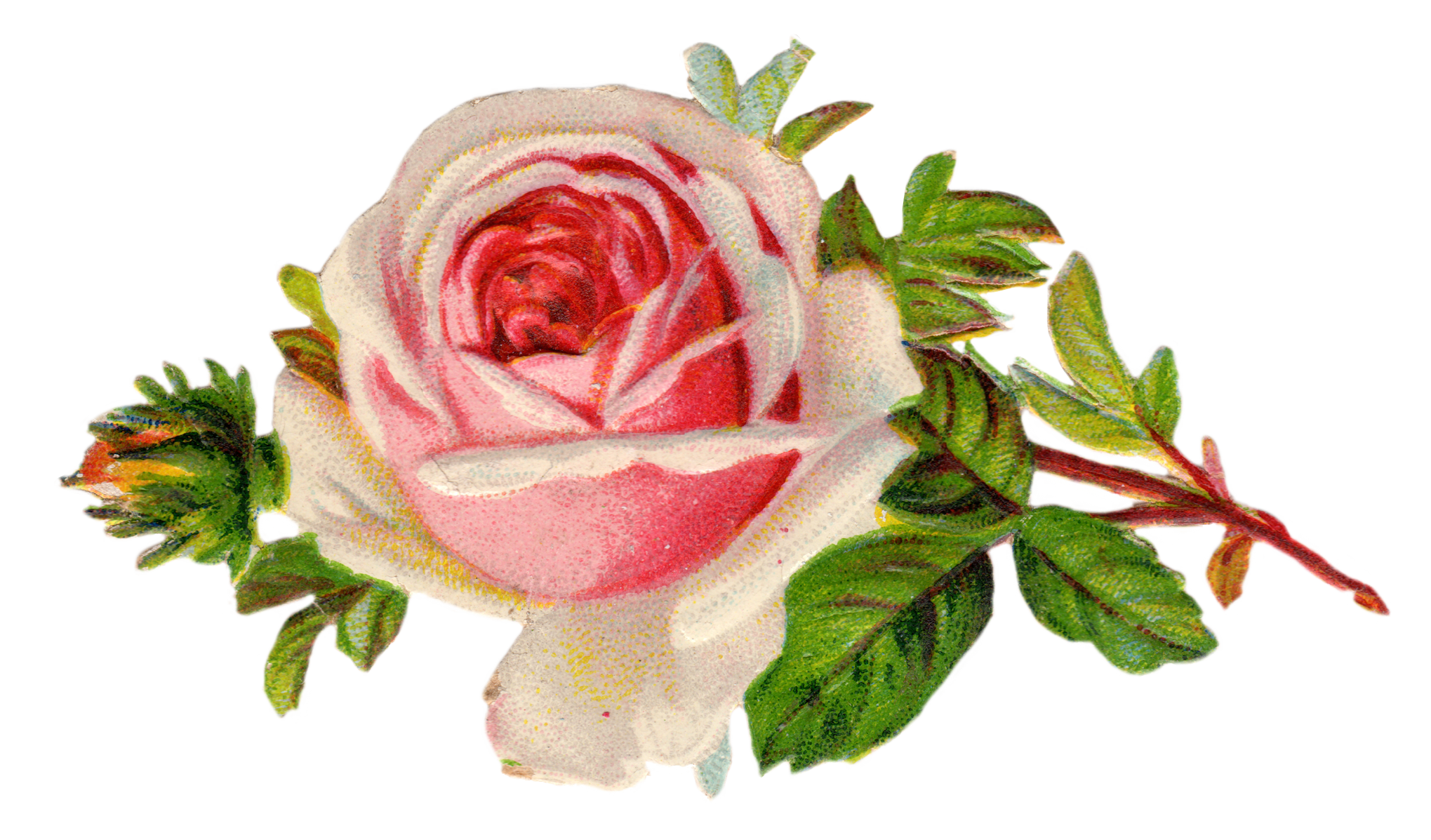 Vintage rose photo