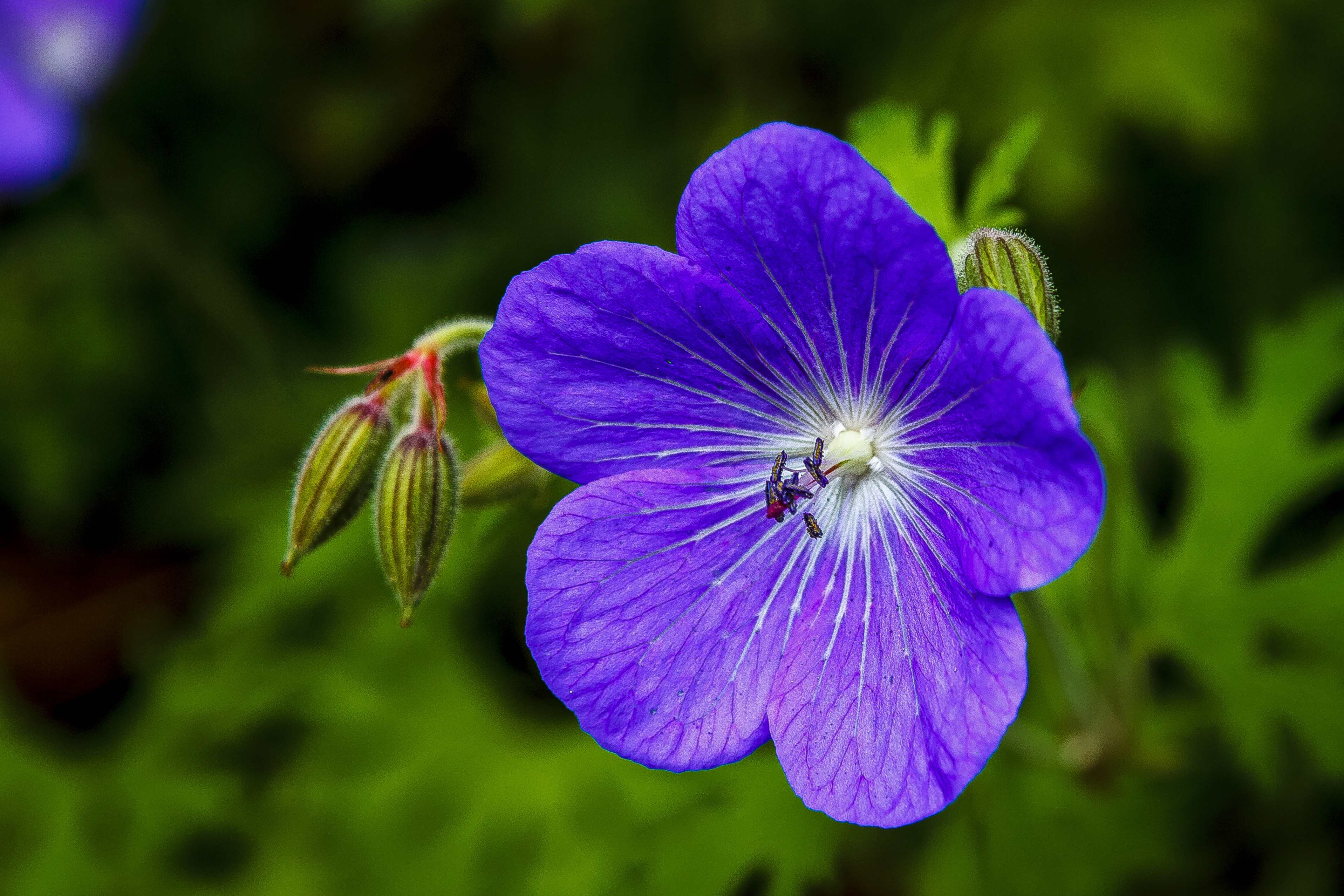 Free photo violet flower violet flower beauty non commercial violet flower izmirmasajfo