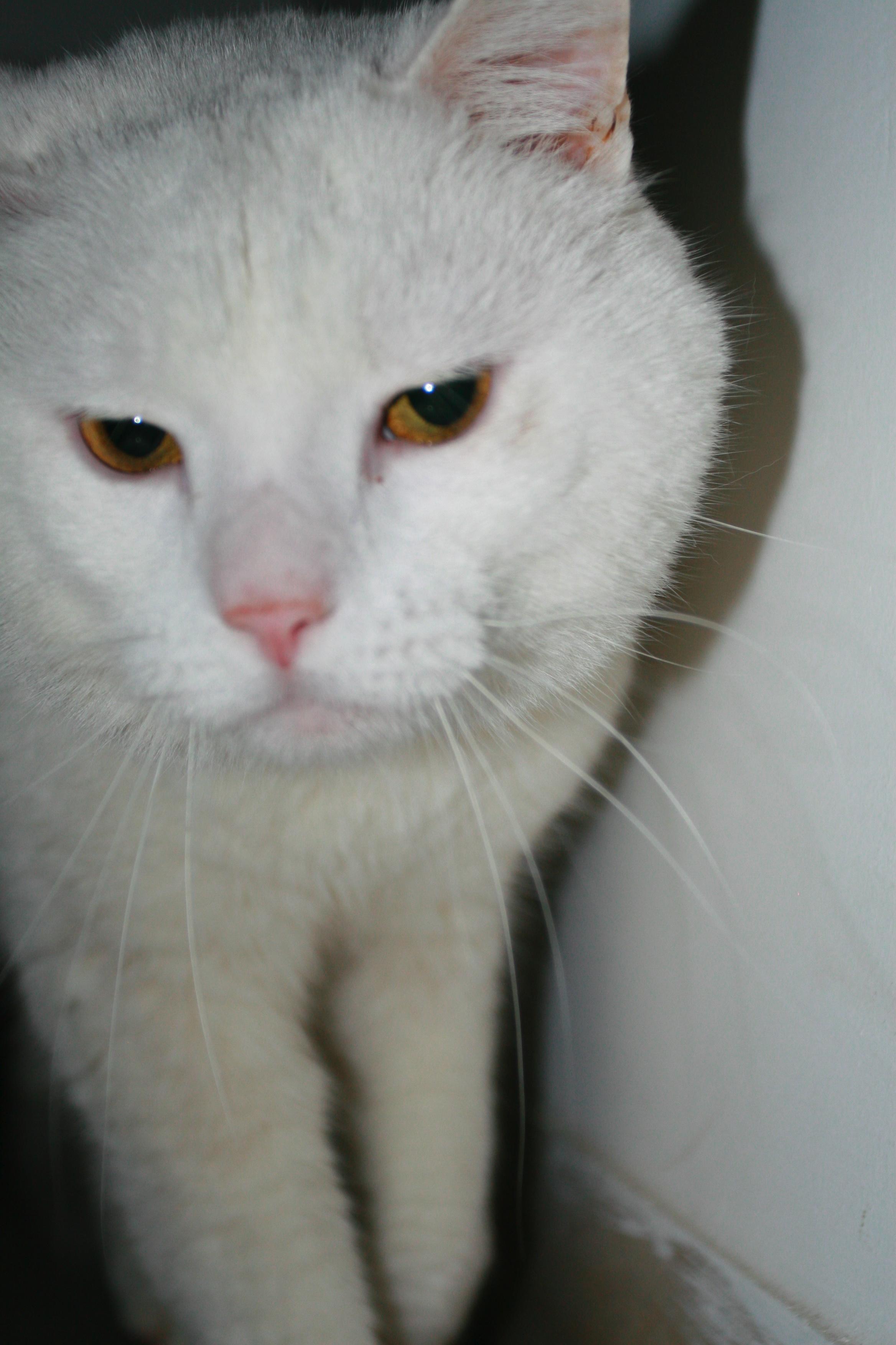 Virgola, Animal, Big, Bspo06, Cat, HQ Photo