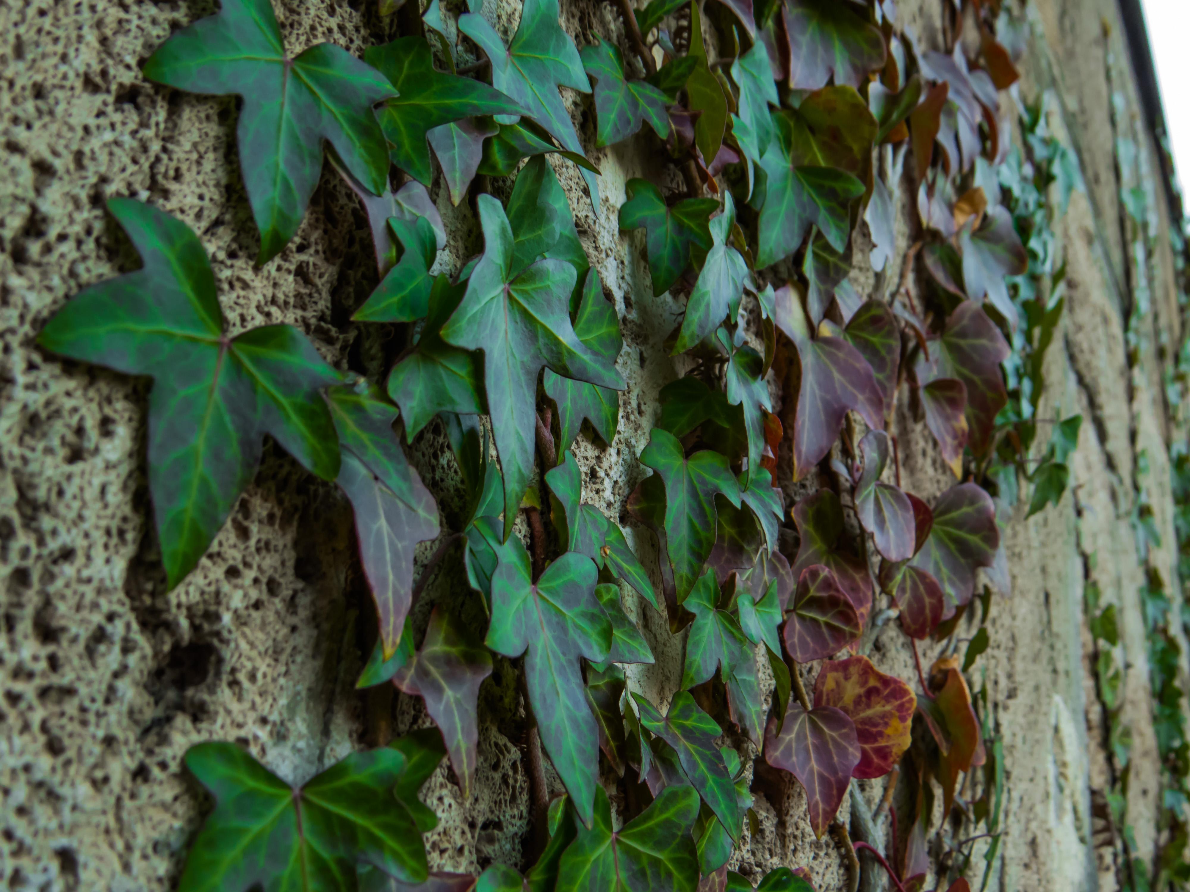 Wall plant, Beautiful, Fall, Graveyard, Green, HQ Photo