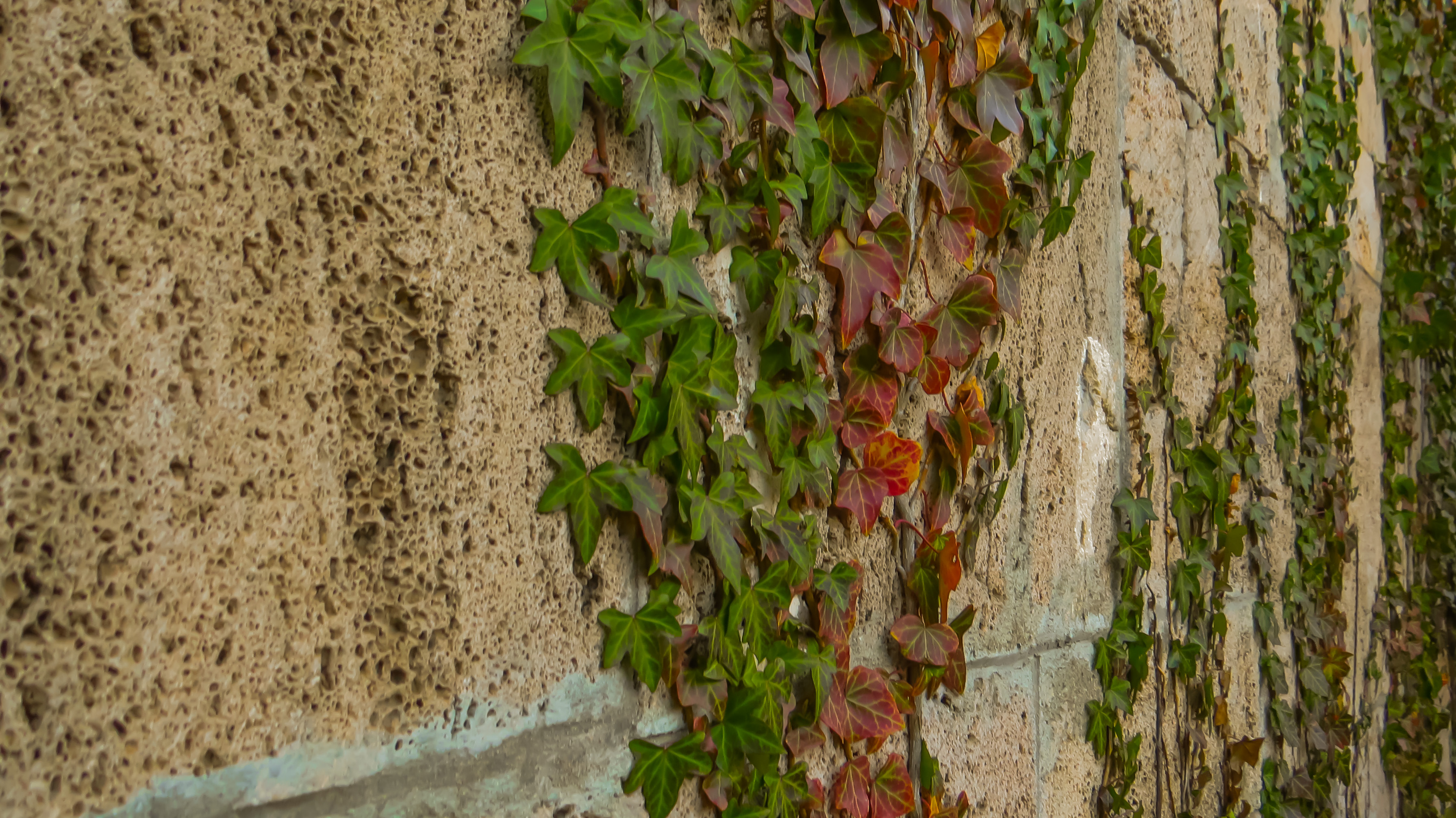 Wall plant, Natural, Leaves, Nature, Plant, HQ Photo