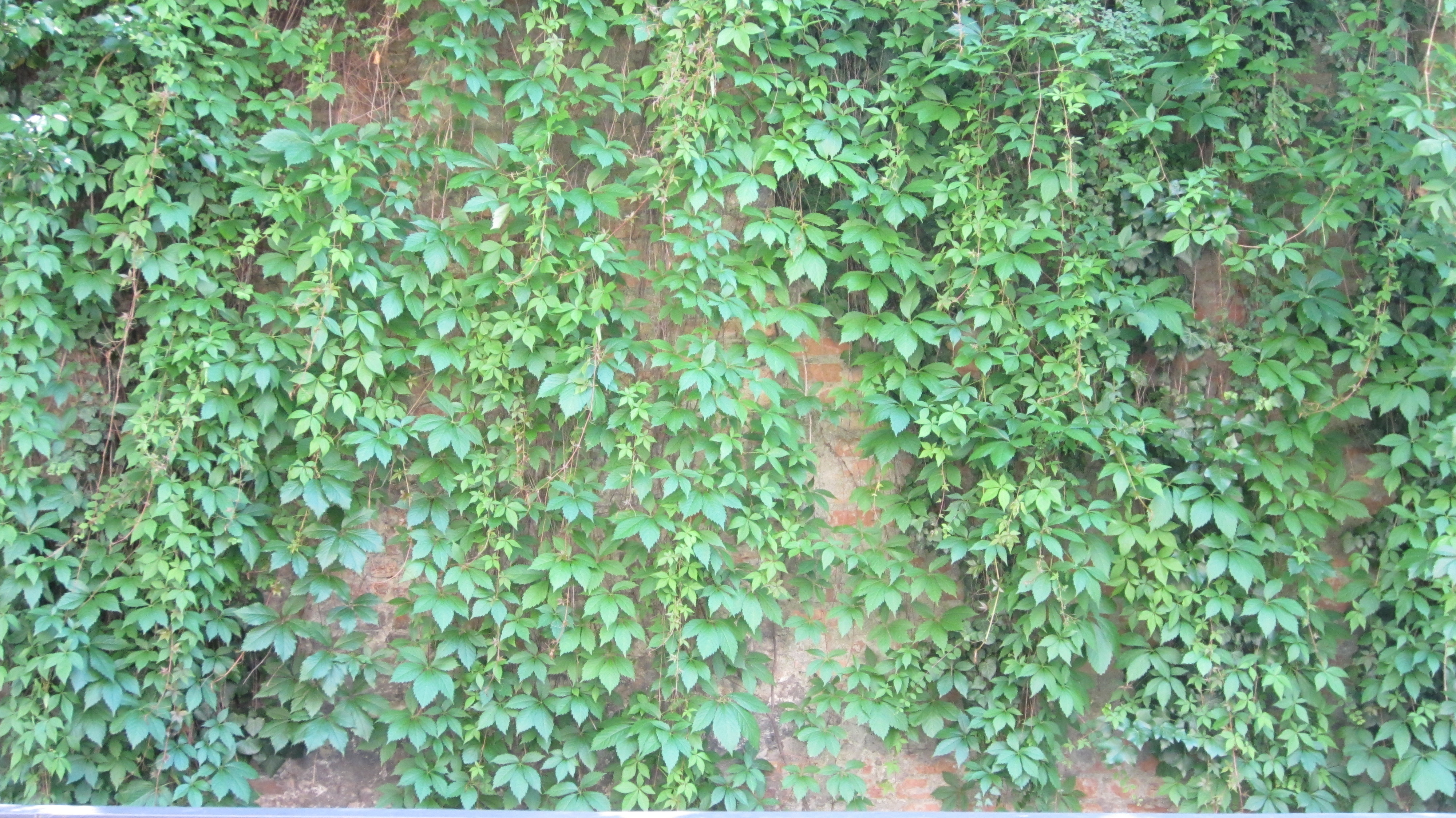 Texture of a wall with leaves | CC-Content