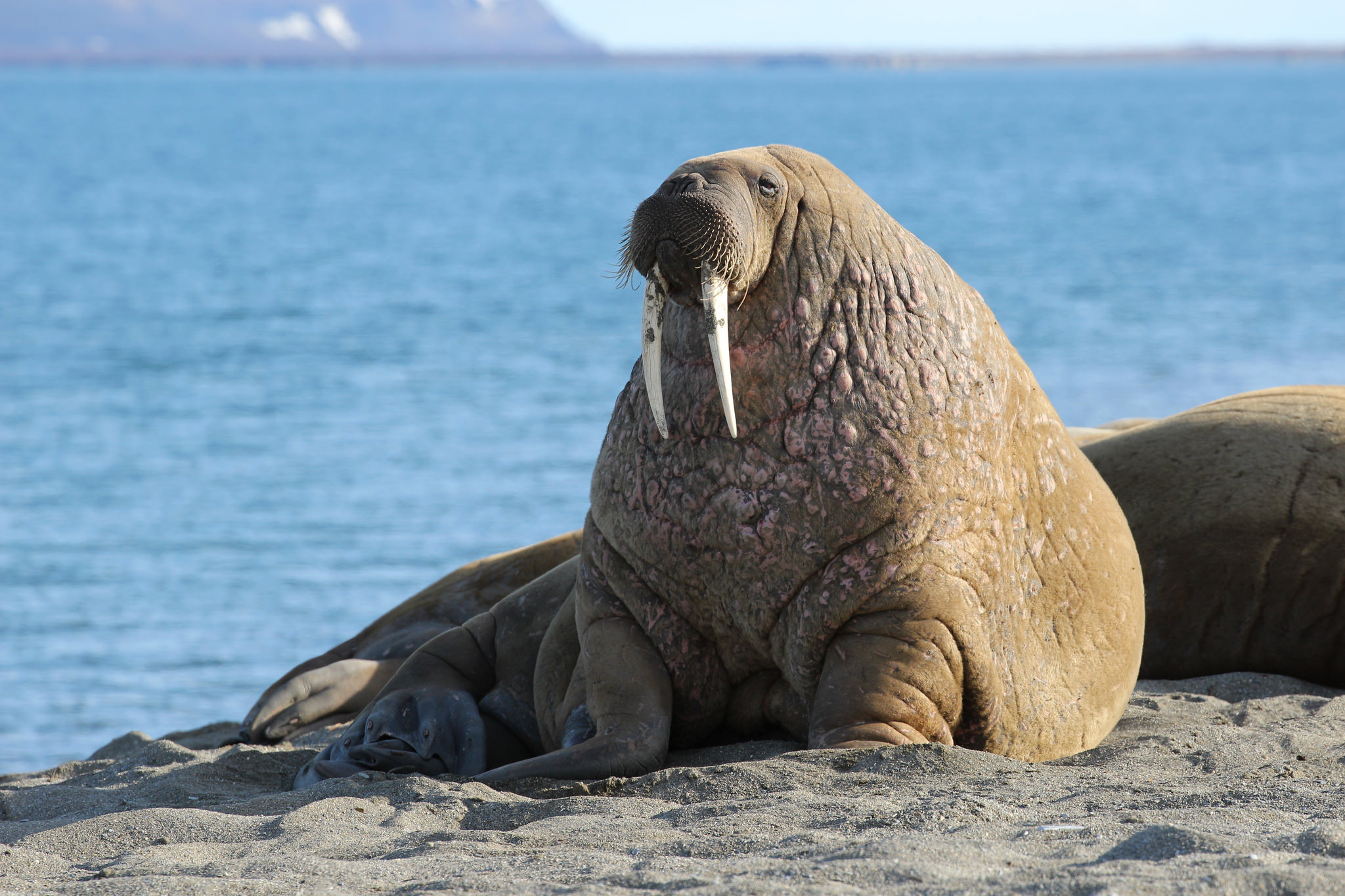 Walrus in winter photo