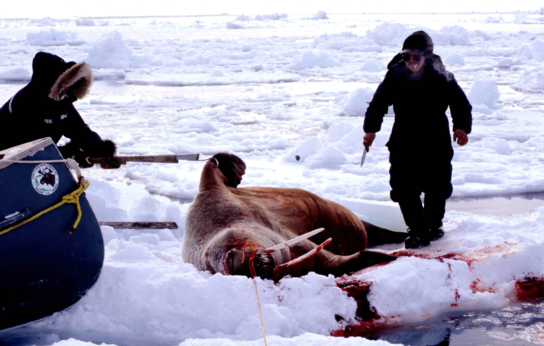 File:Walrus 1999-03-31.jpg - Wikimedia Commons