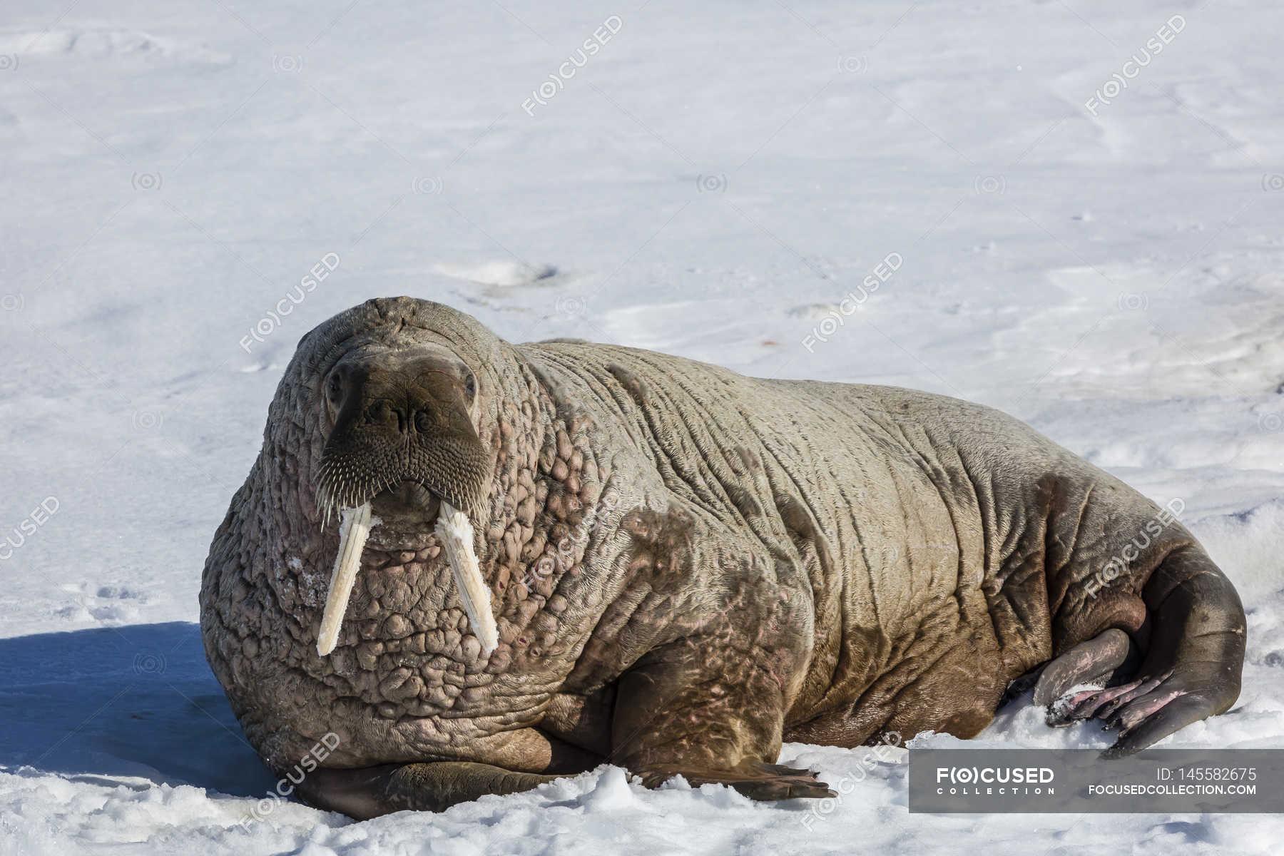 Atlantic walrus lying on ice — Stock Photo | #145582675