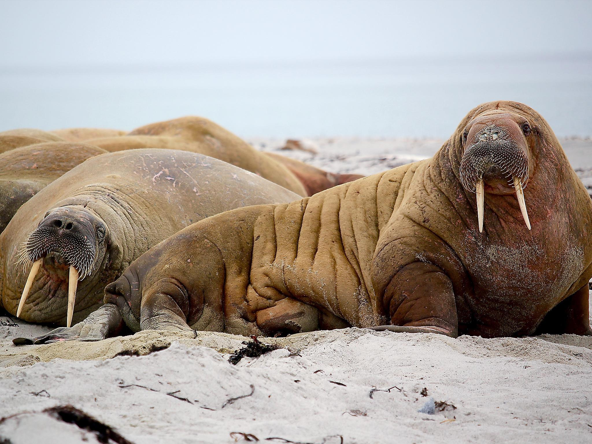 The other ivory trade: Narwhal, walrus and... mammoth | The Independent