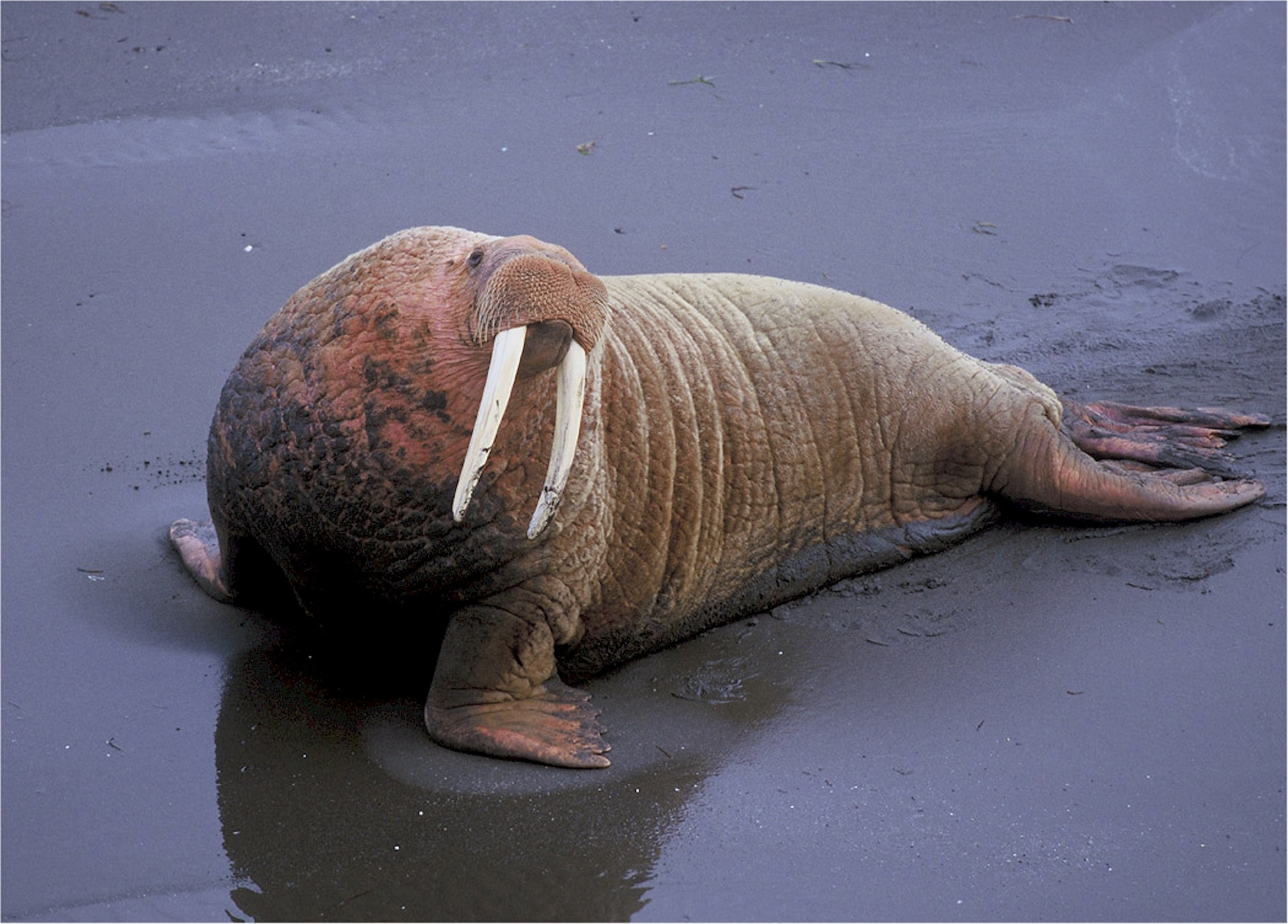 Walrus on the shore photo
