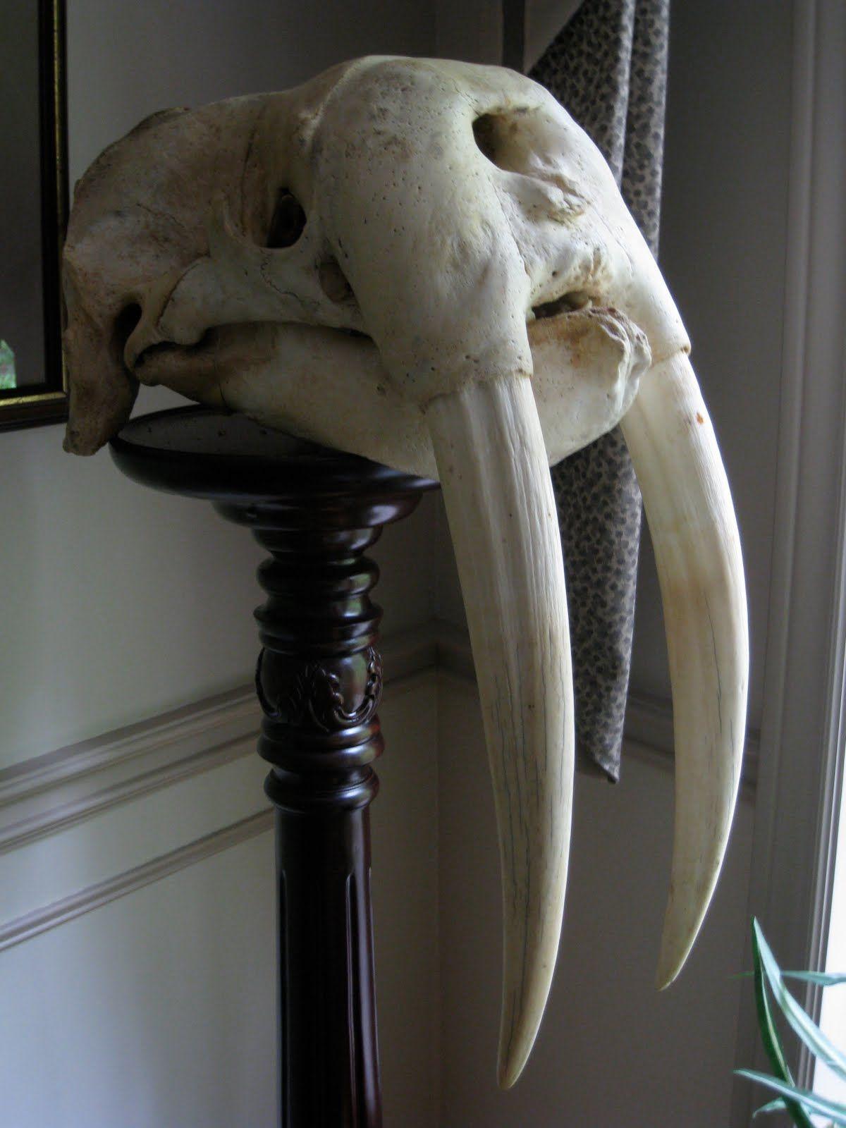 Warlus Skull / Cráneo de Morsa | walrus reference | Pinterest ...