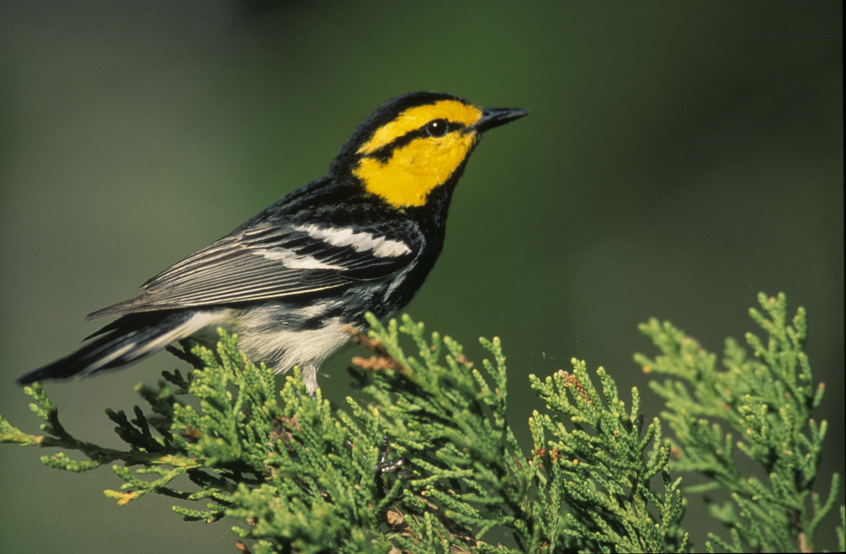 Warbler on the tree photo