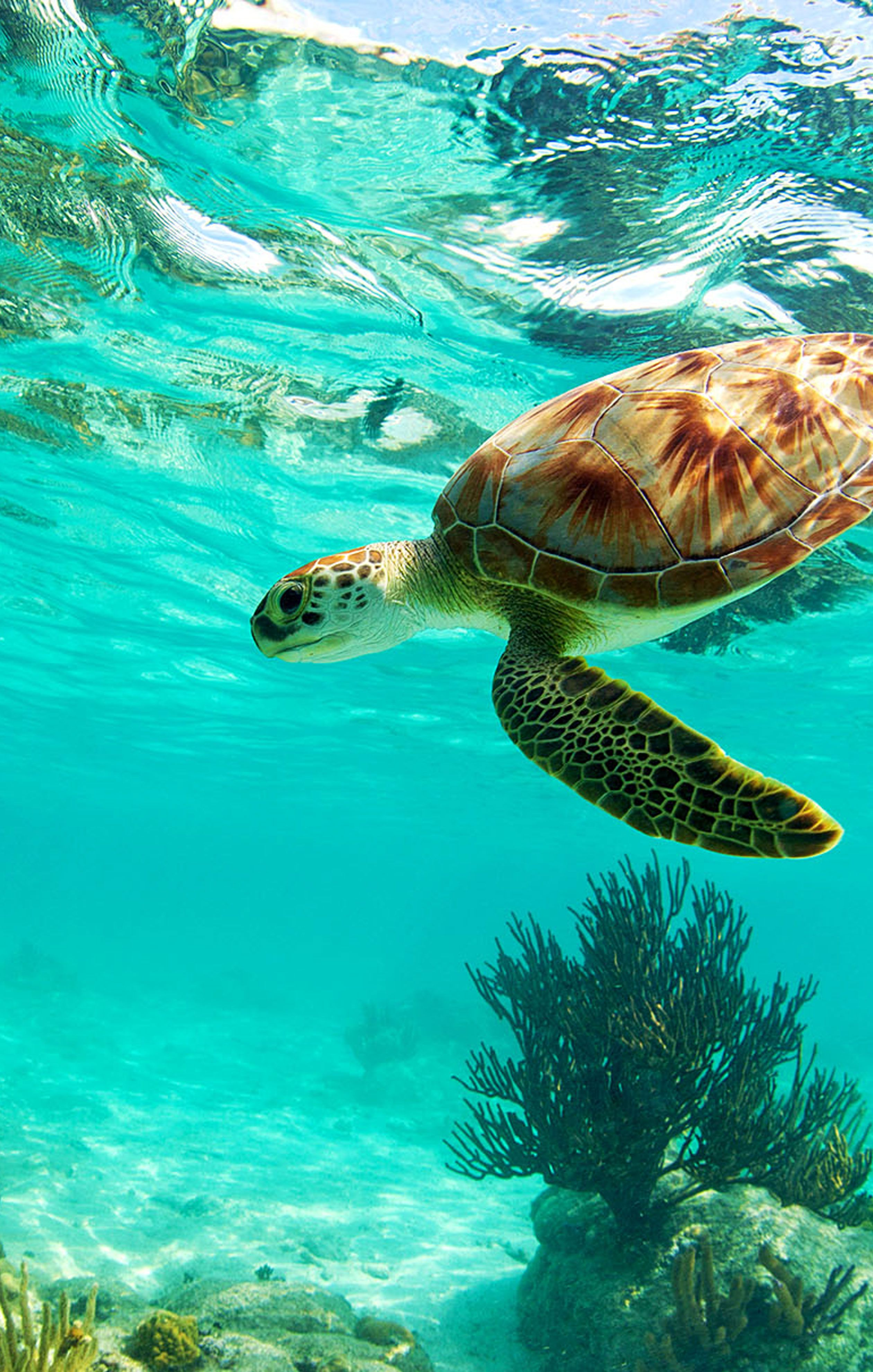 This sea turtle swims through the warm blue waters of the Caribbean ...