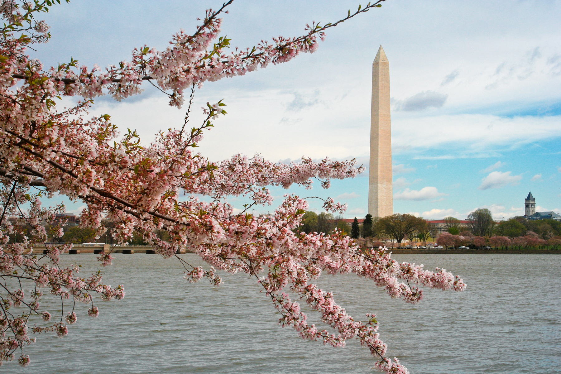 Washington dc cherry blossoms photo