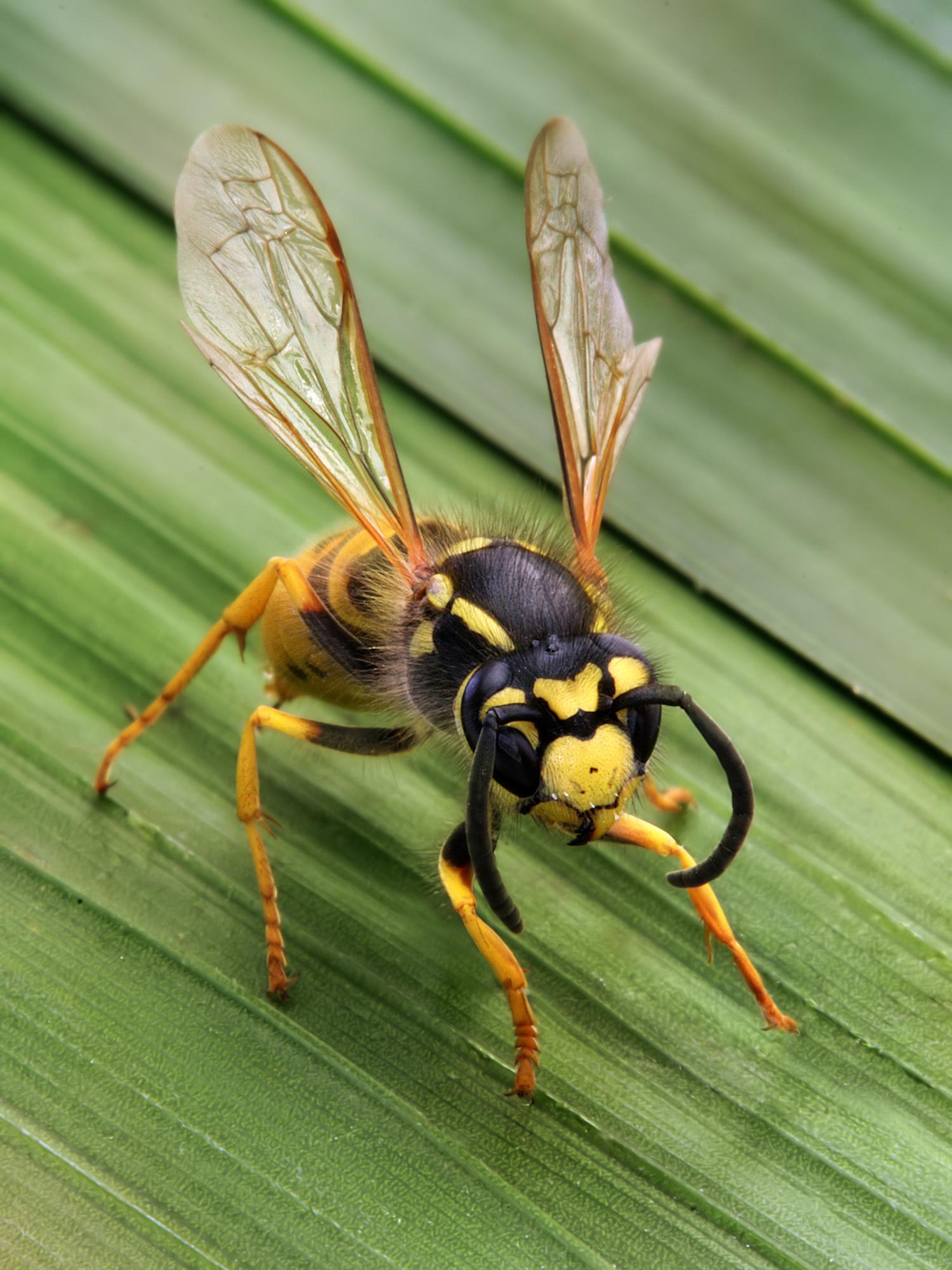 Wasp - Wikipedia