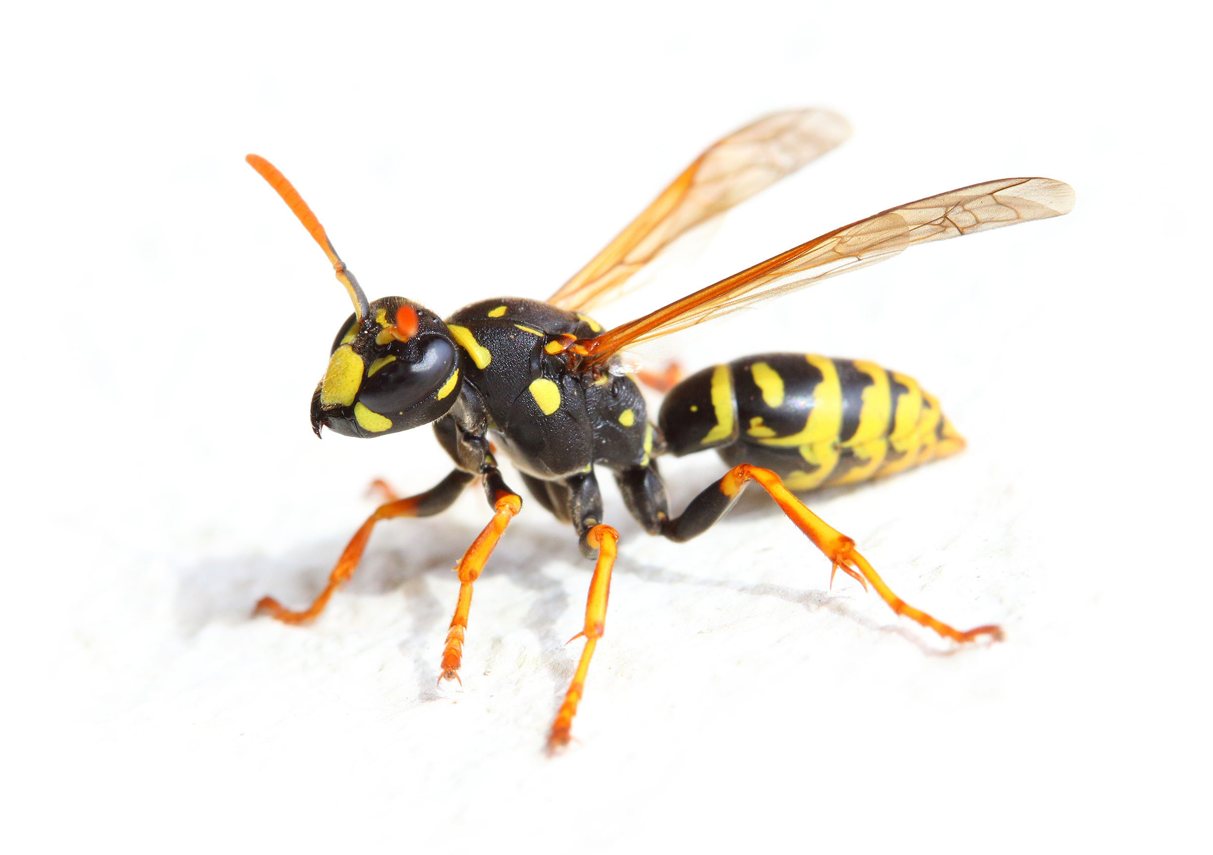 10 FAQs About Wasps - deBugged