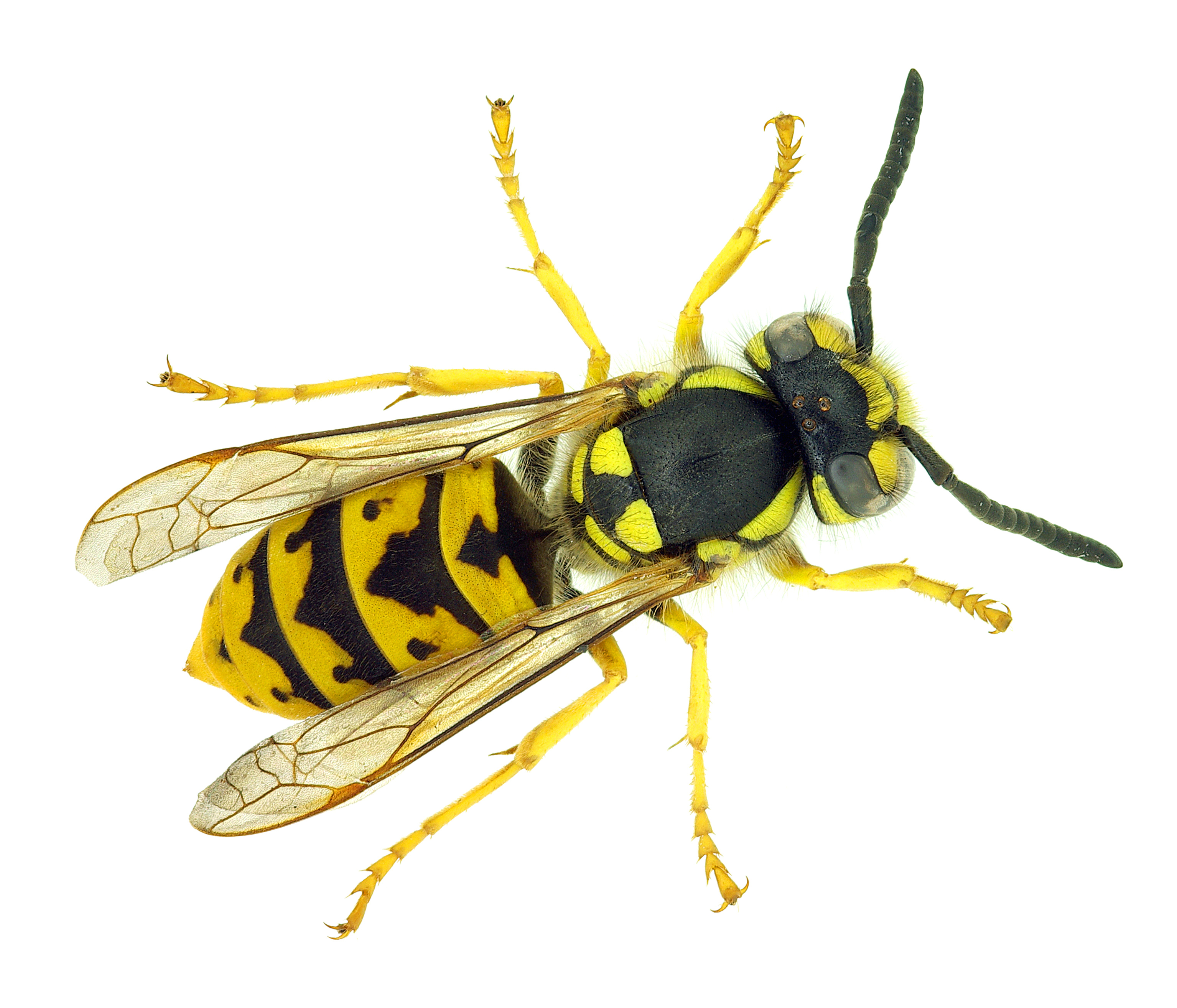How Long Do Wasps Live? - deBugged