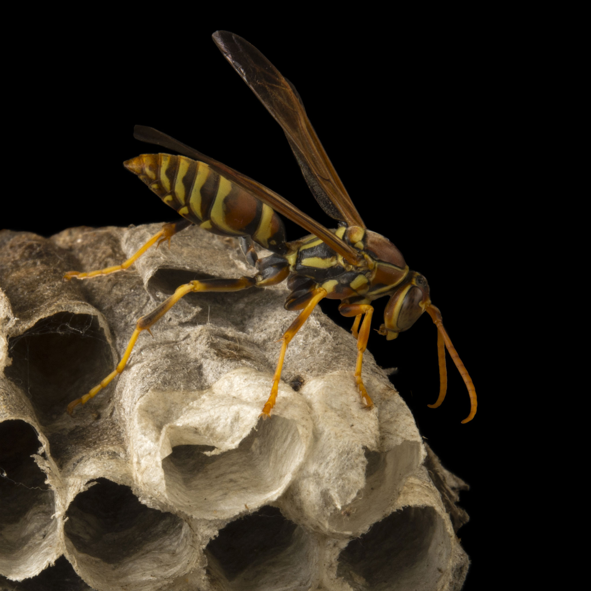 Wasps | National Geographic